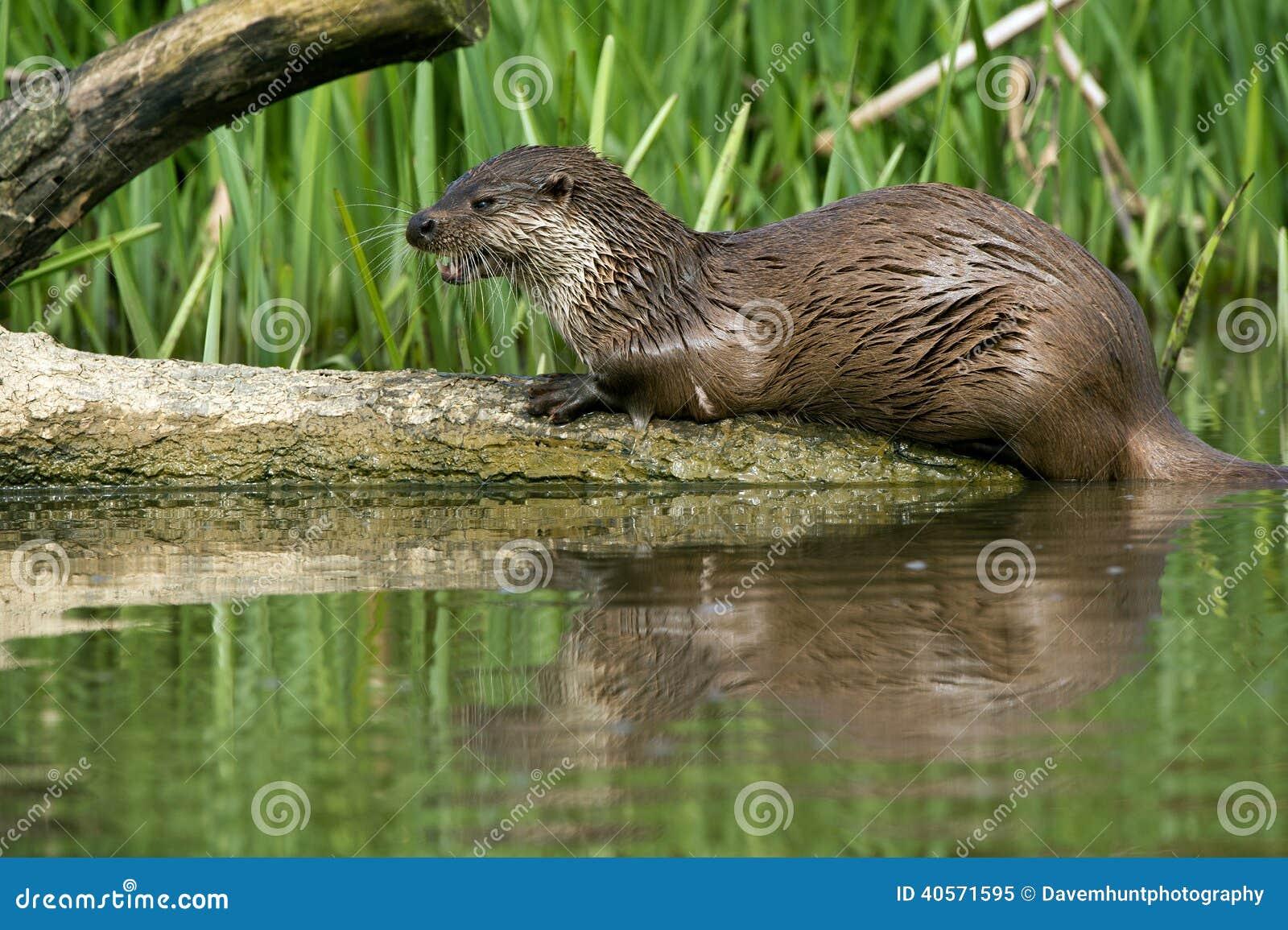 Otter europejskiej
