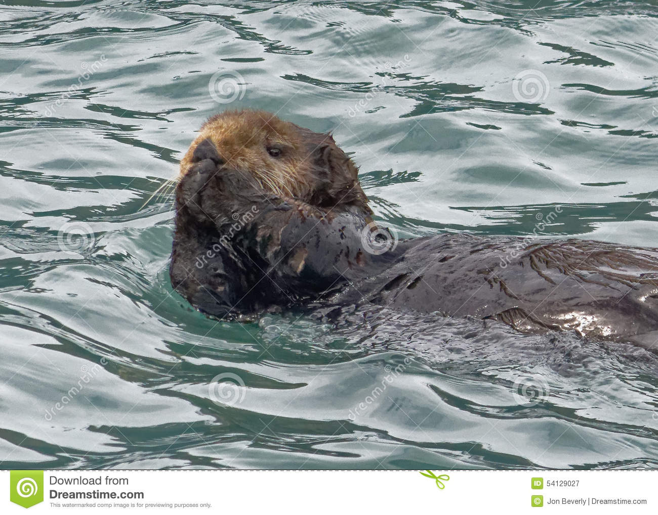Otter With Hands Upraised Stock Image Image Of Black 54129027