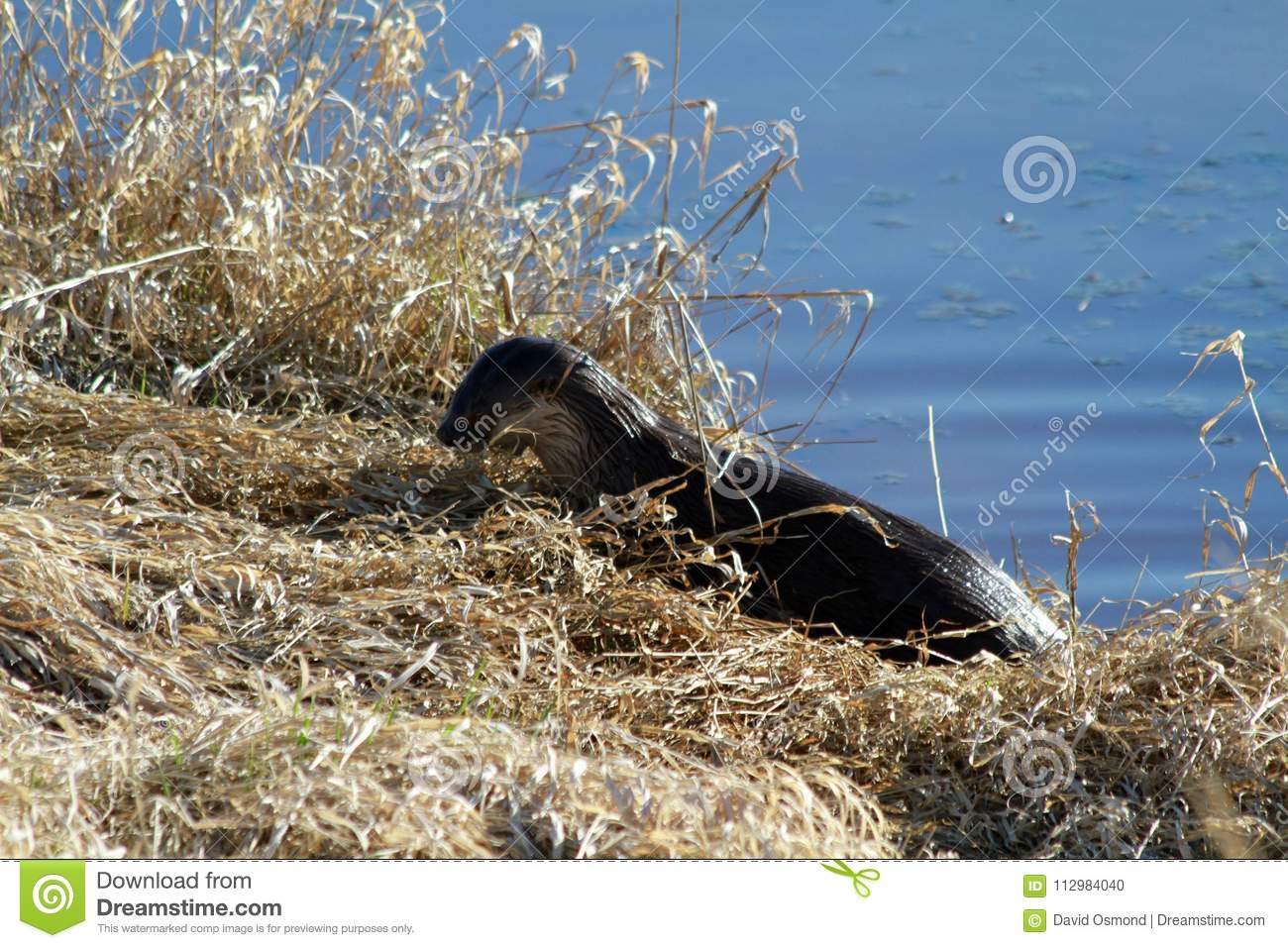 An otter harvesting grass on a sunny day