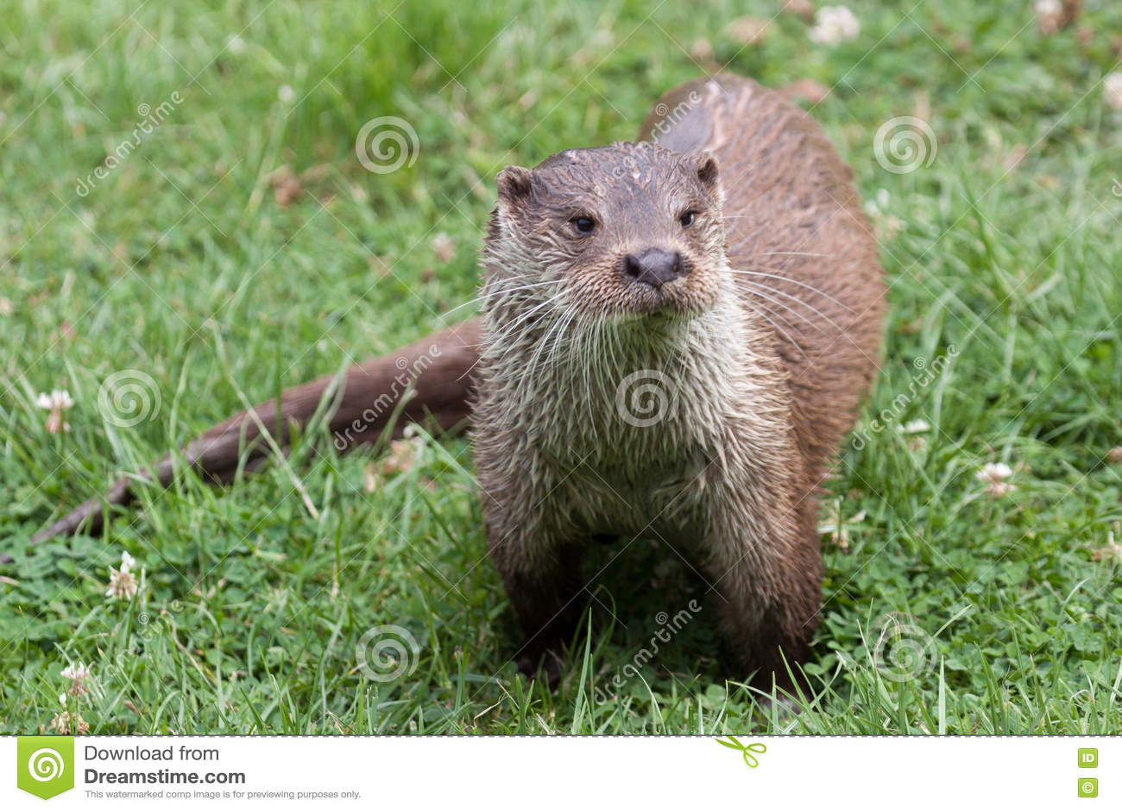 Otter op het Britse het Wildcentrum