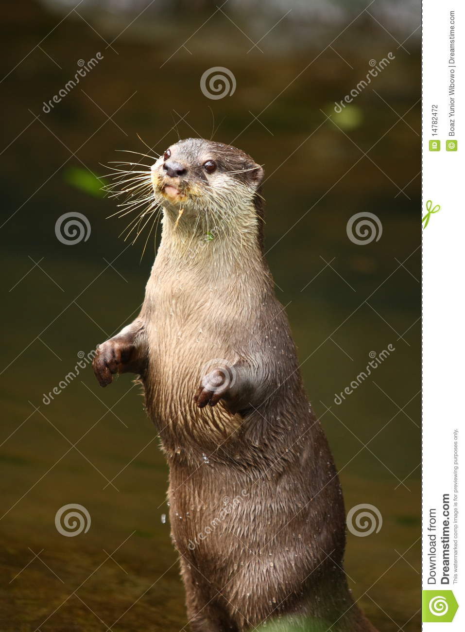 Otter Standing Stock Photo Image Of Detail Wildlife