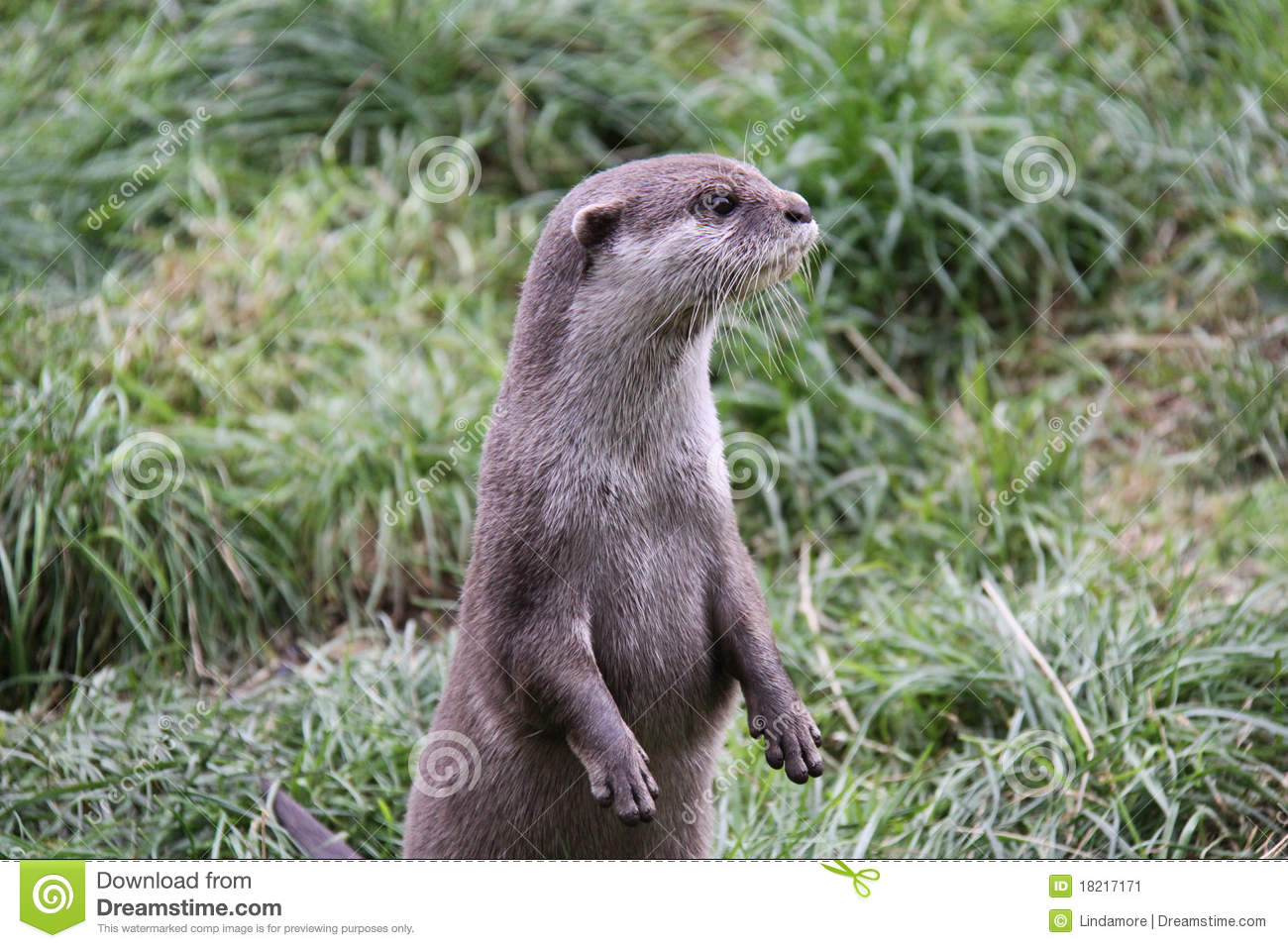 otter standing up looking away from camera stock image. Black Bedroom Furniture Sets. Home Design Ideas