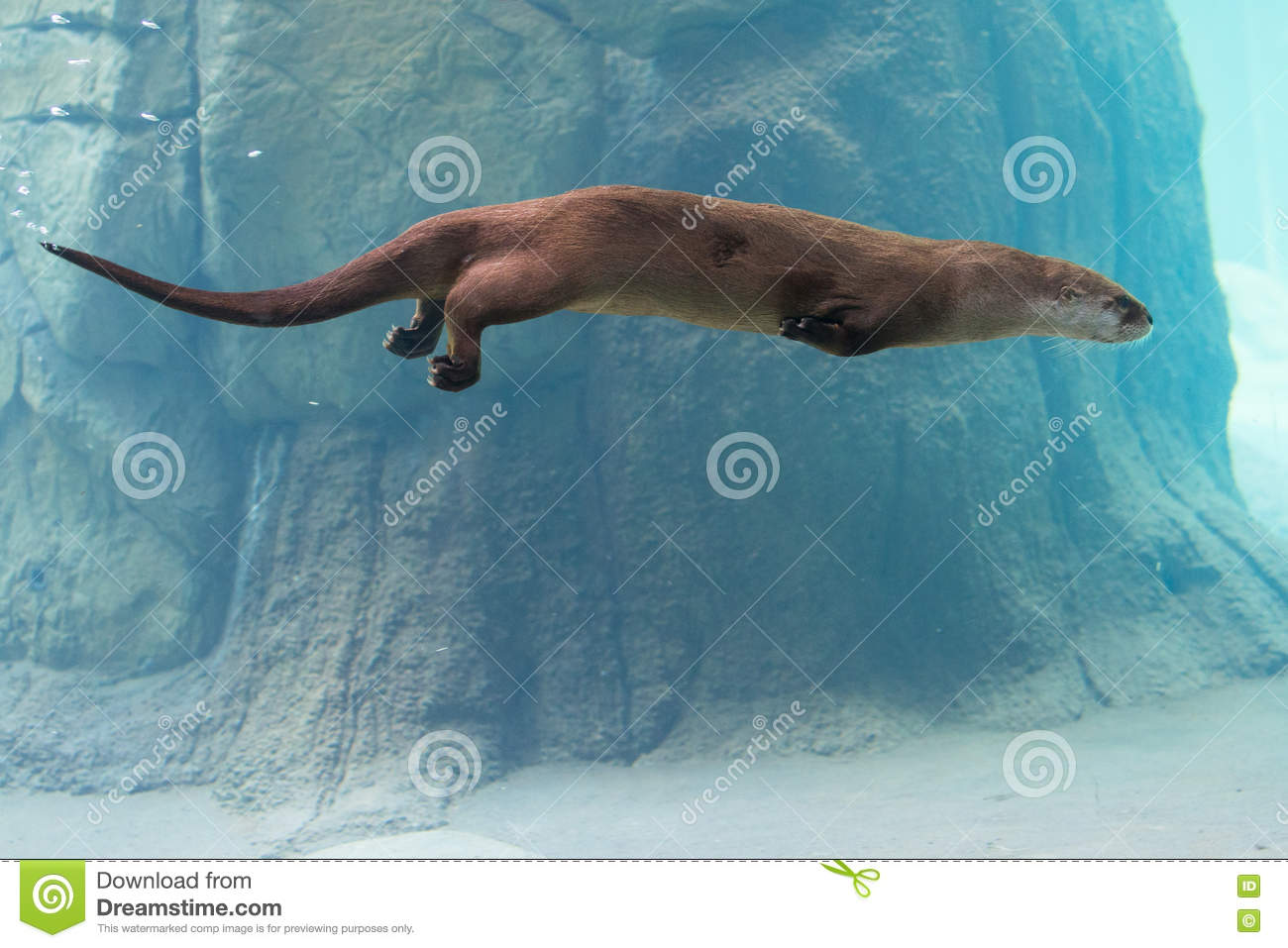 c859ea8b1 Otter swimming in water stock photo. Image of animal - 80009820