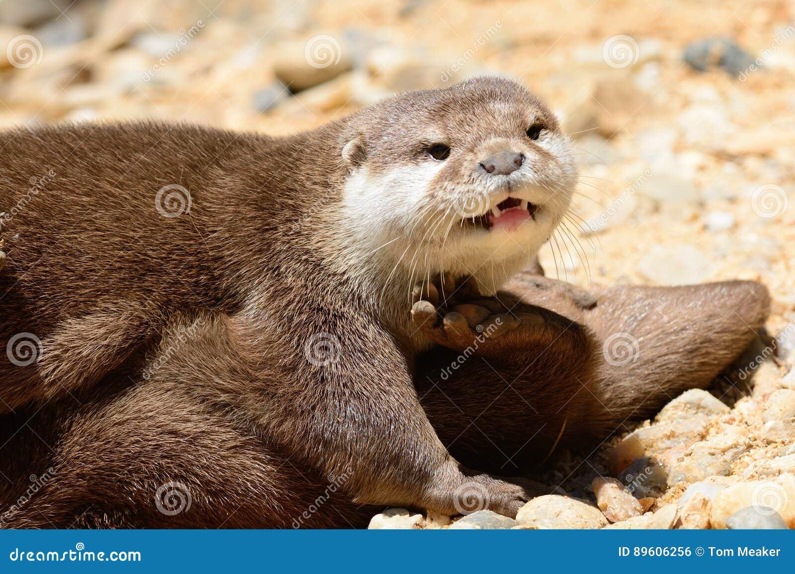 Otter up close