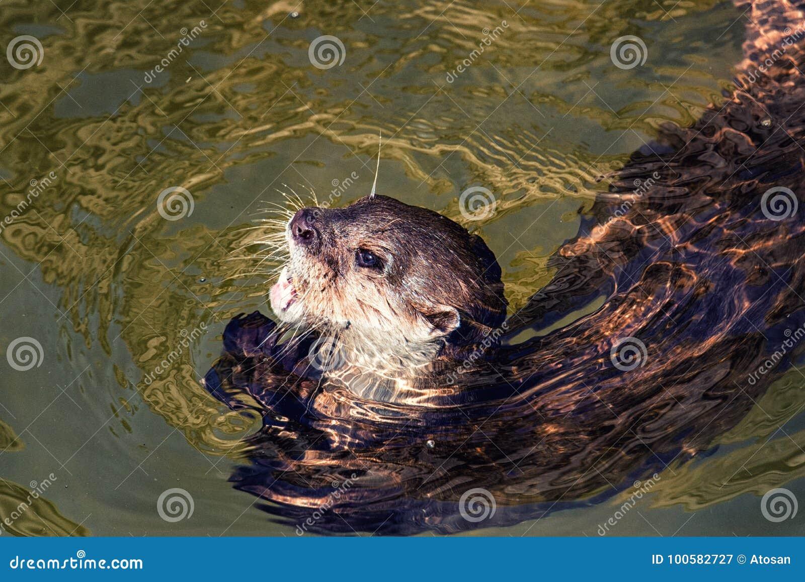 6e24ab54f Swimming otter stock image. Image of mammal, photography - 100582727