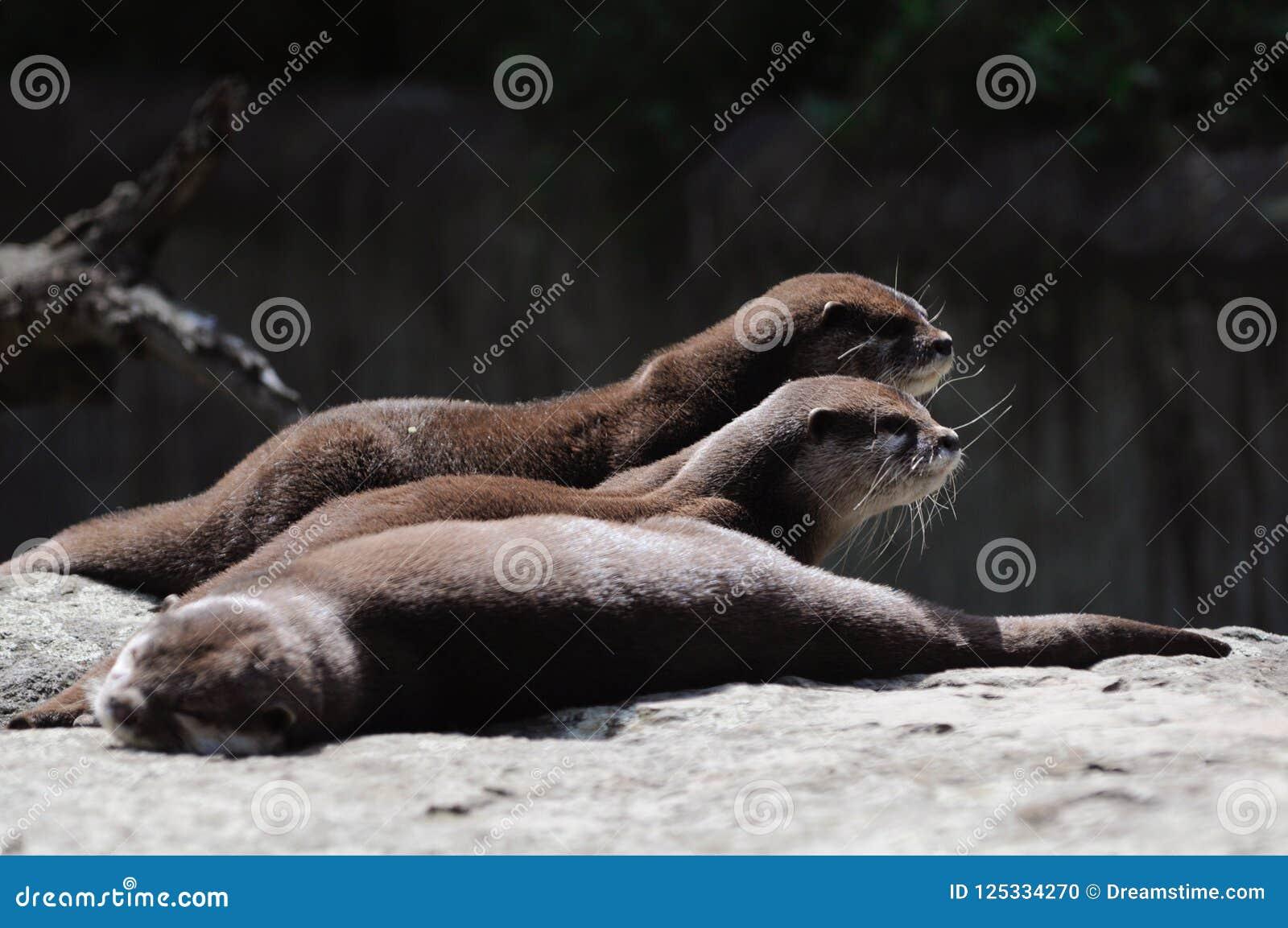 Otters in de dierentuin van Berlijn