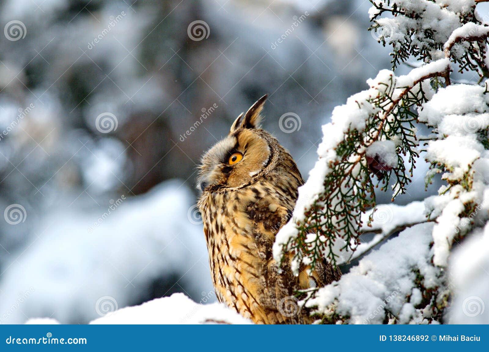 Otus de orejas alargadas de Owl Asio