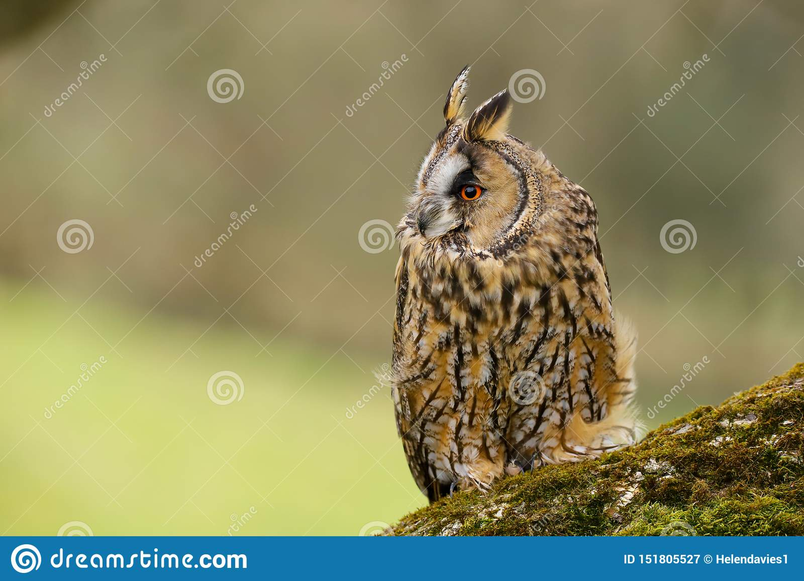 Otus espigado largo Reino Unido de Owl Asio
