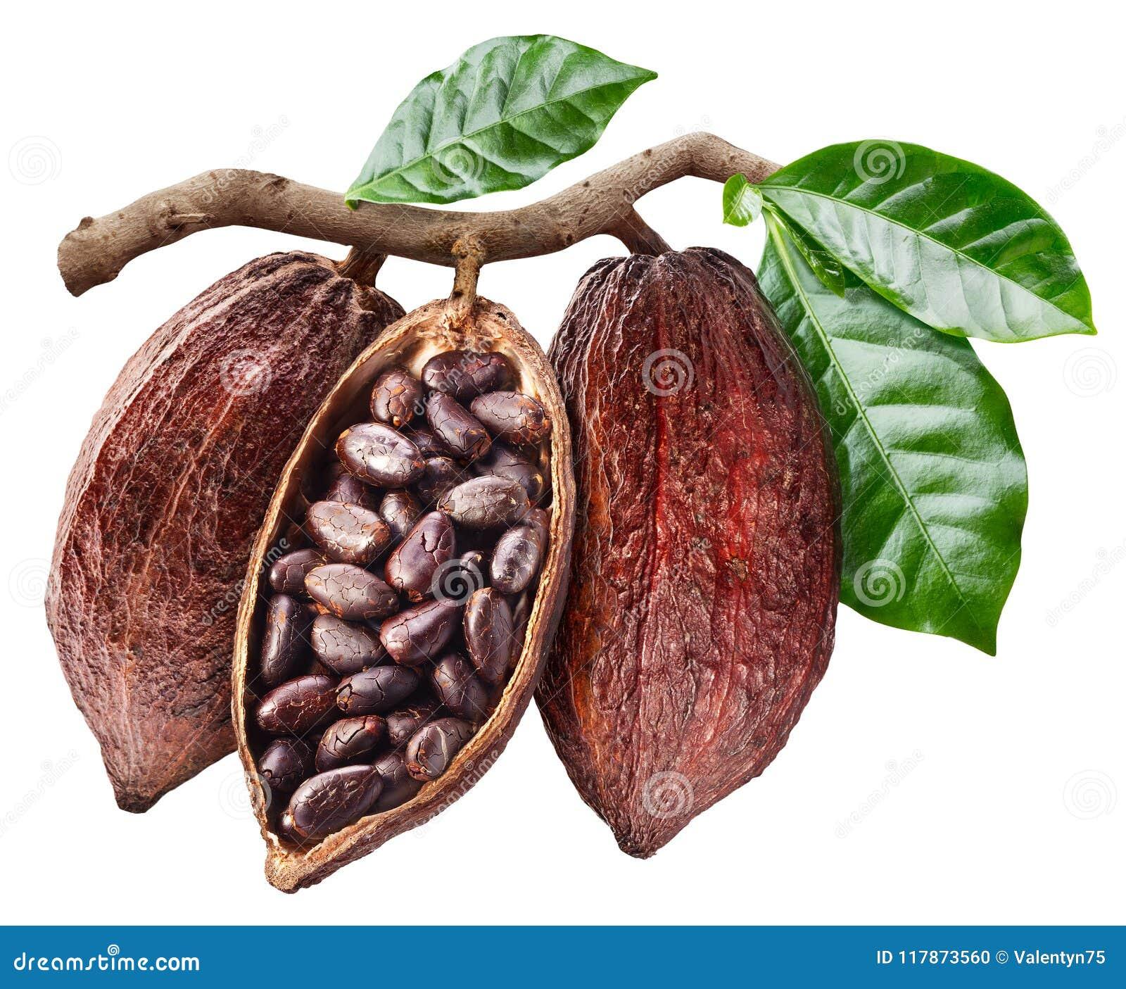 Otwarty kakaowy strąk który wiesza od gałąź z kakao ziarnami