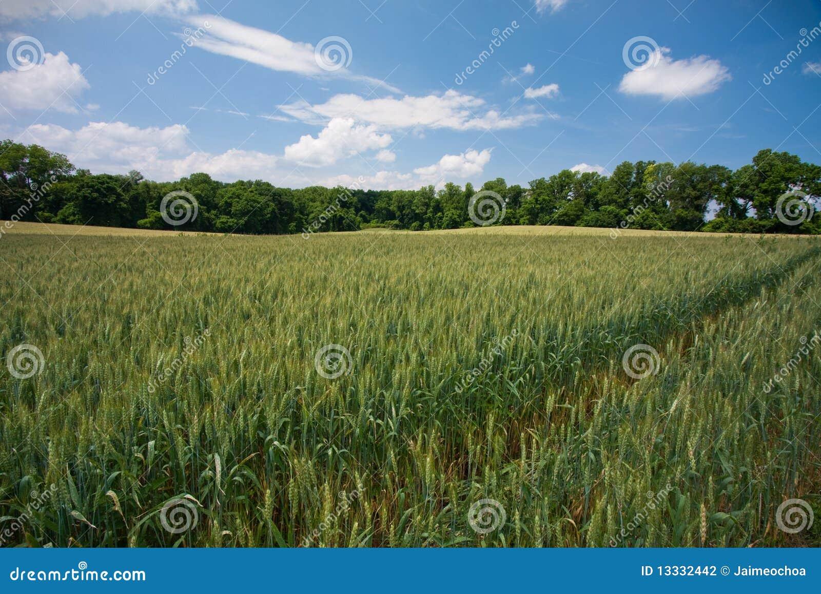 Otwarty pola wheet