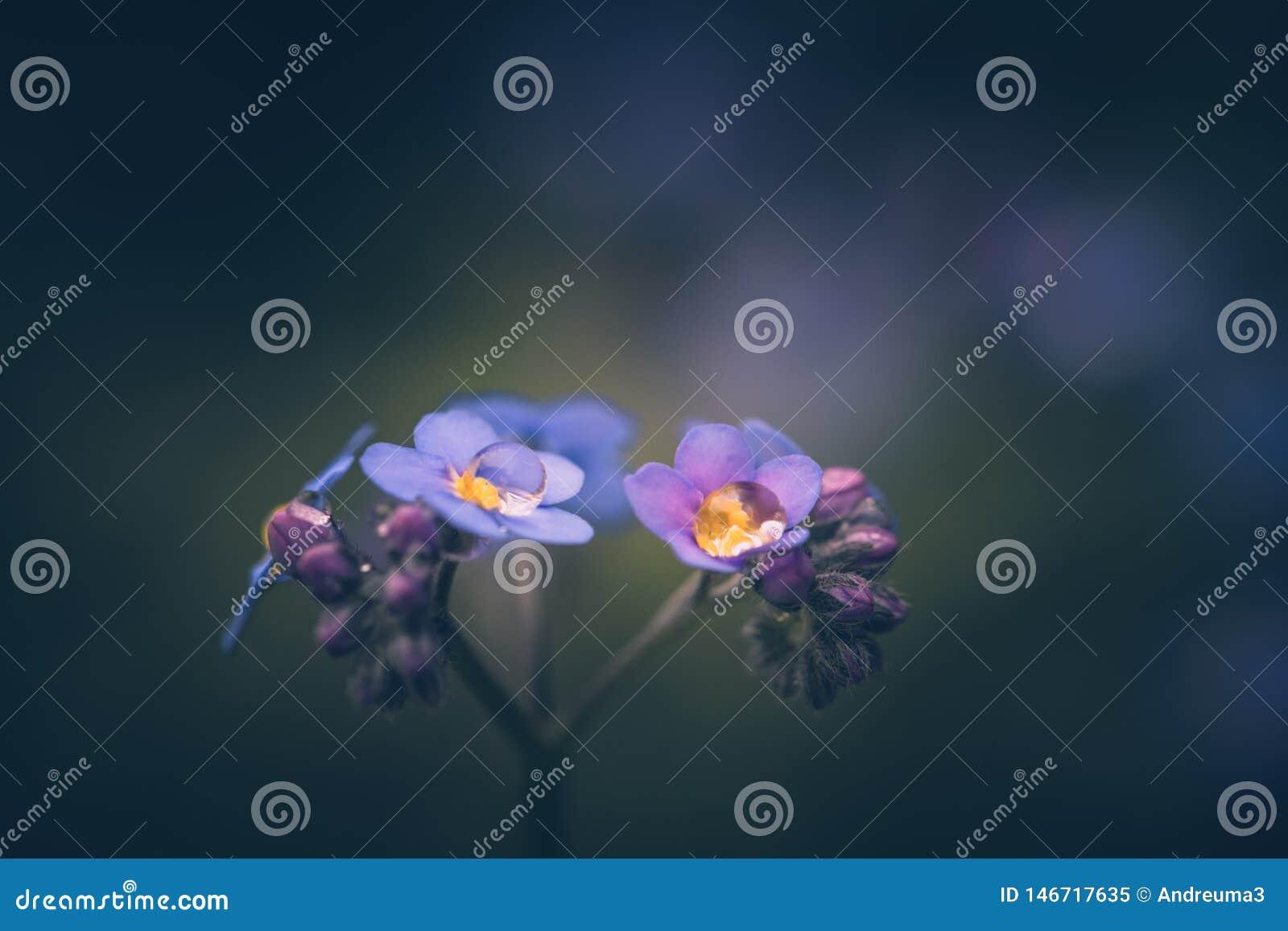 Oubliez-moi pas fleur/alpestris de Myosotis