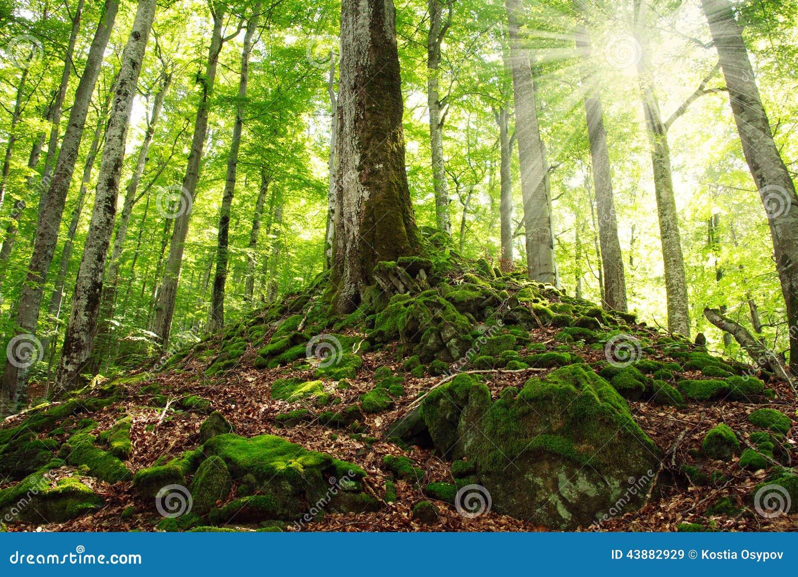 Oud groen bemost bos