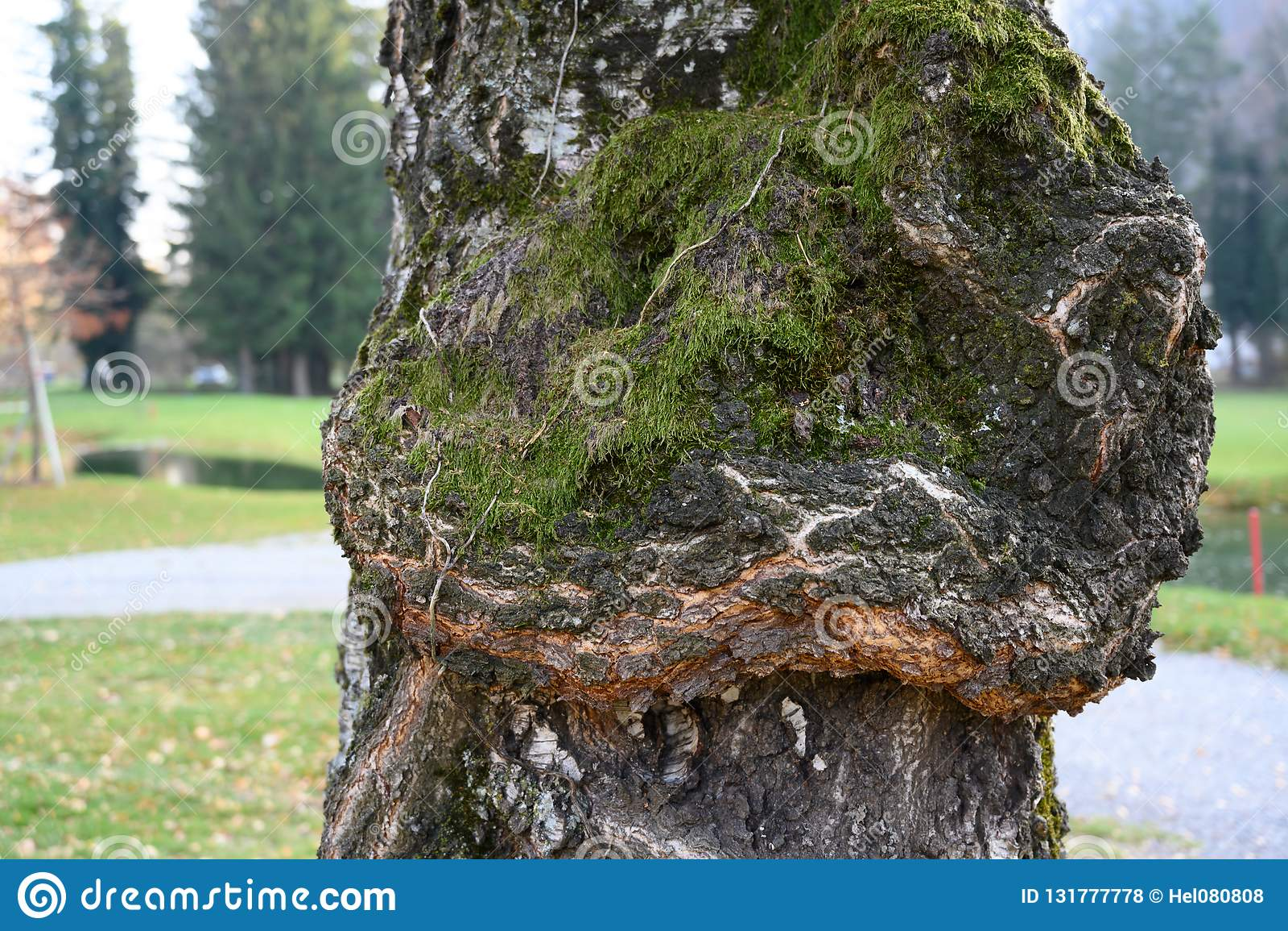 Oude berkeschors met mos