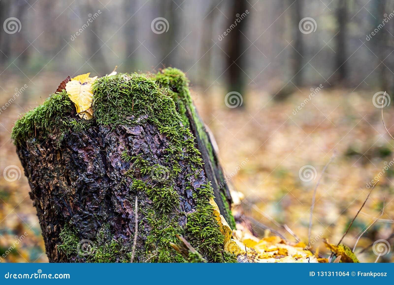 Oude boomstomp in het midden van het bos