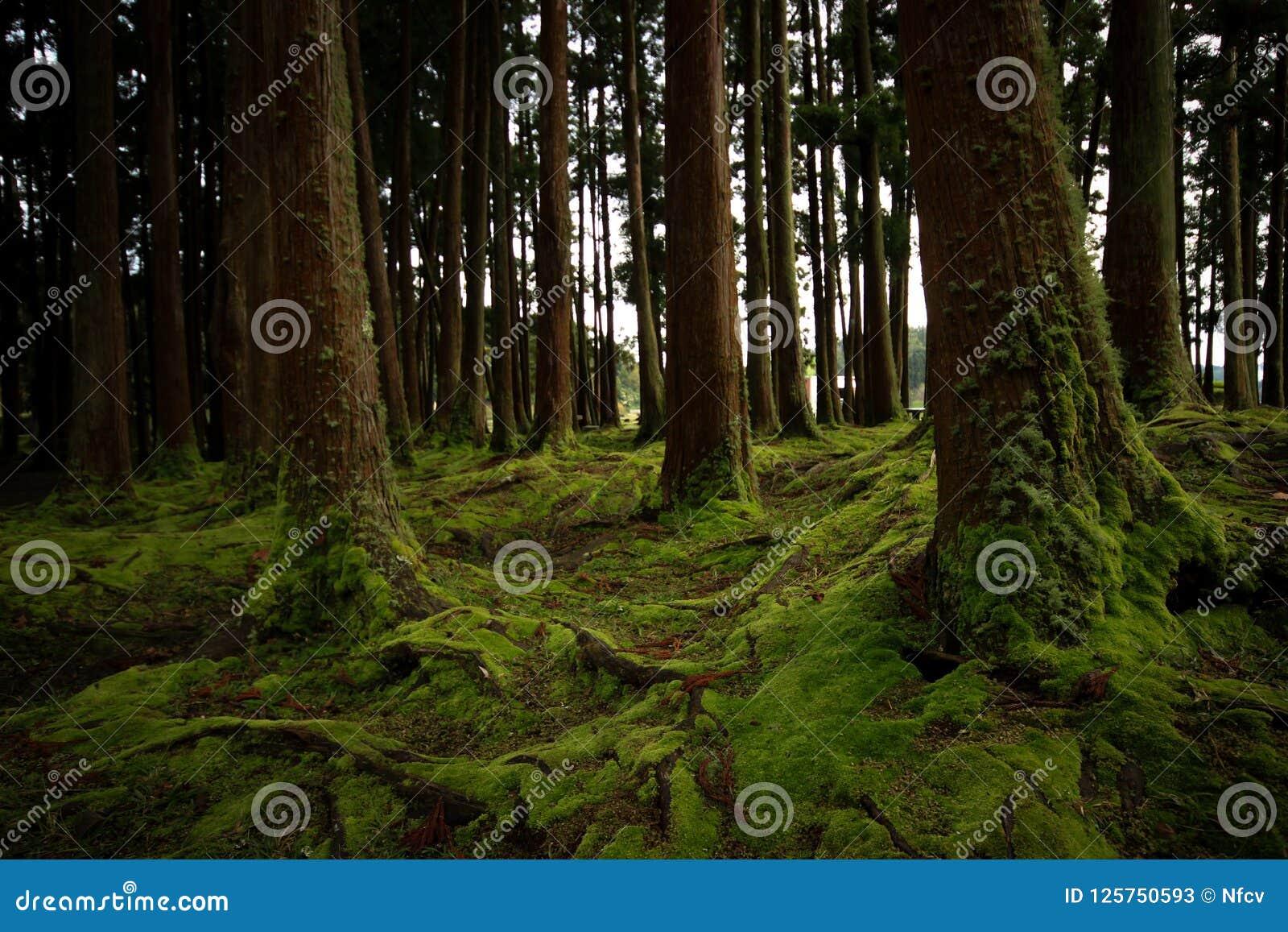 Oude die bomen in een bos met de vloer met mos wordt behandeld