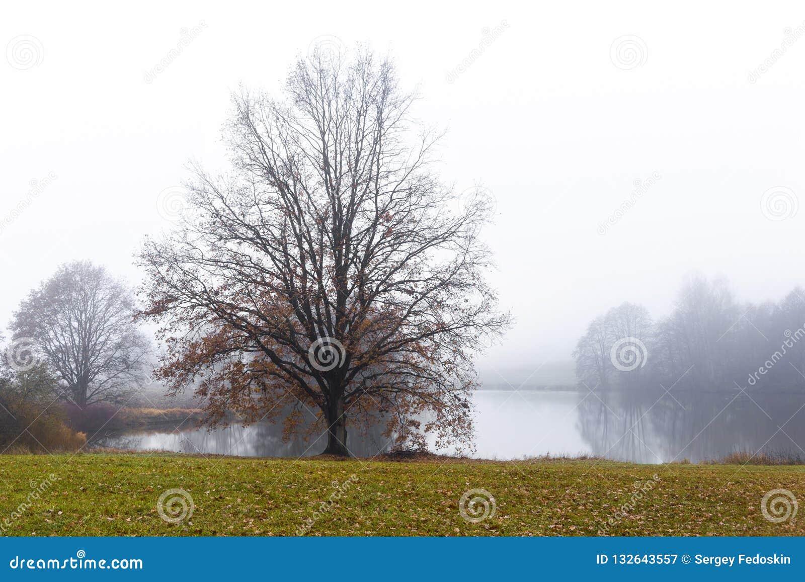 Oude eik over de waterspiegel van een stil meer in de mist