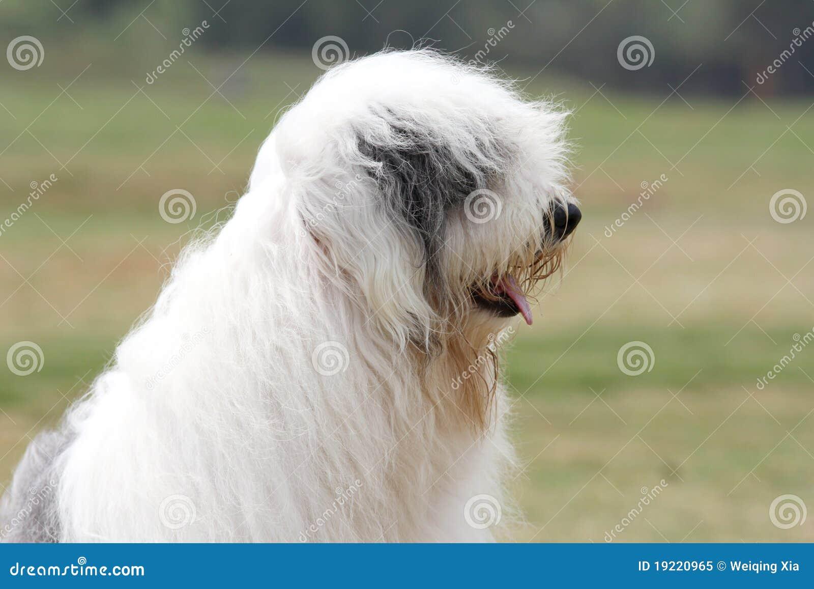 Oude Engelse herdershond