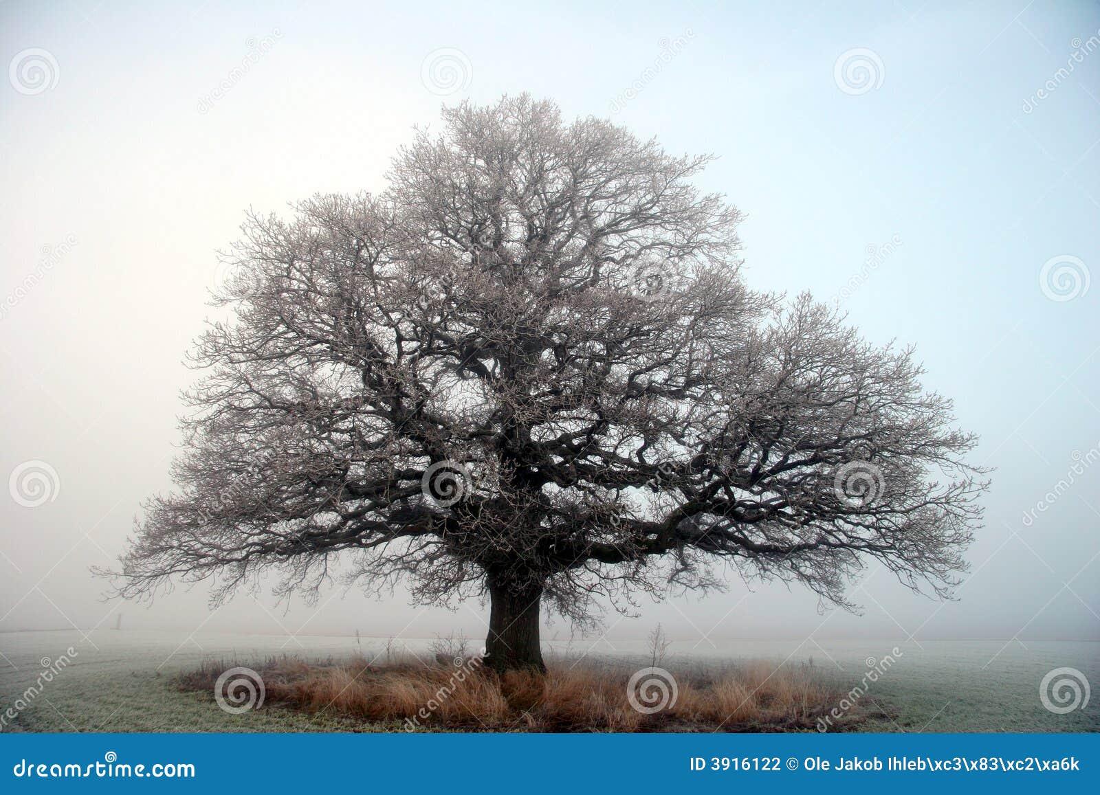 Oude grote eiken boom stock fotografie   afbeelding: 3916122