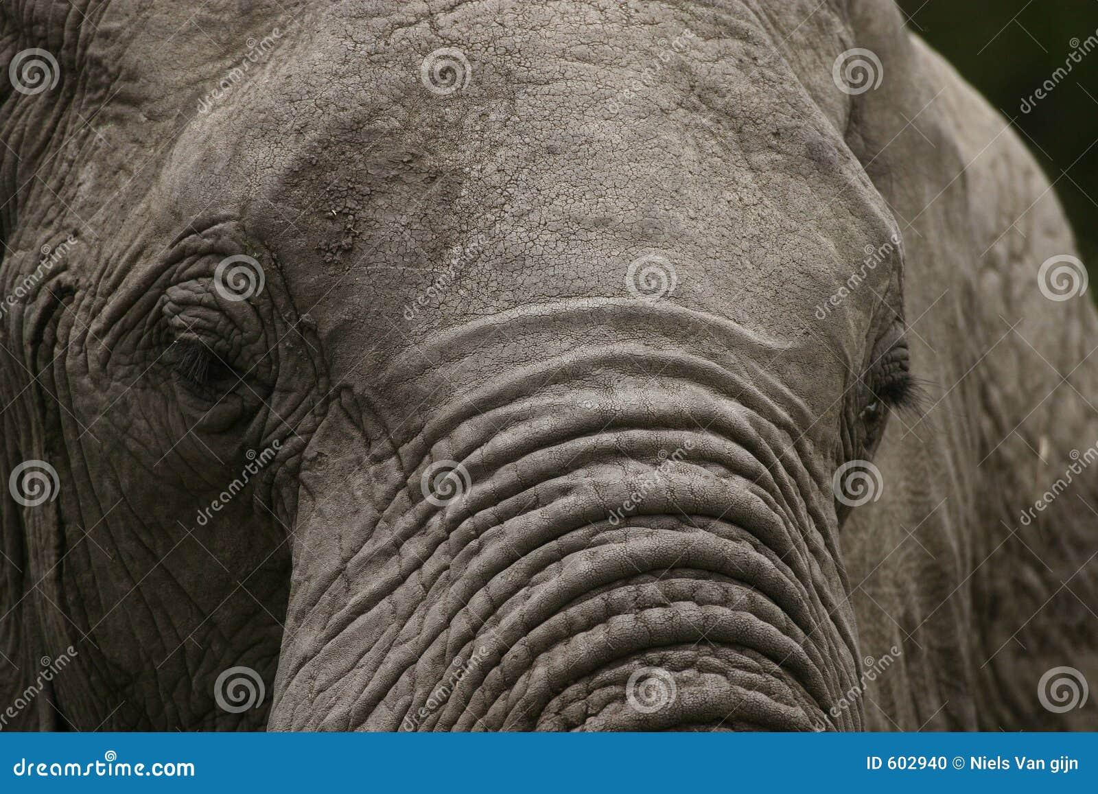 Oude, knapperige olifant