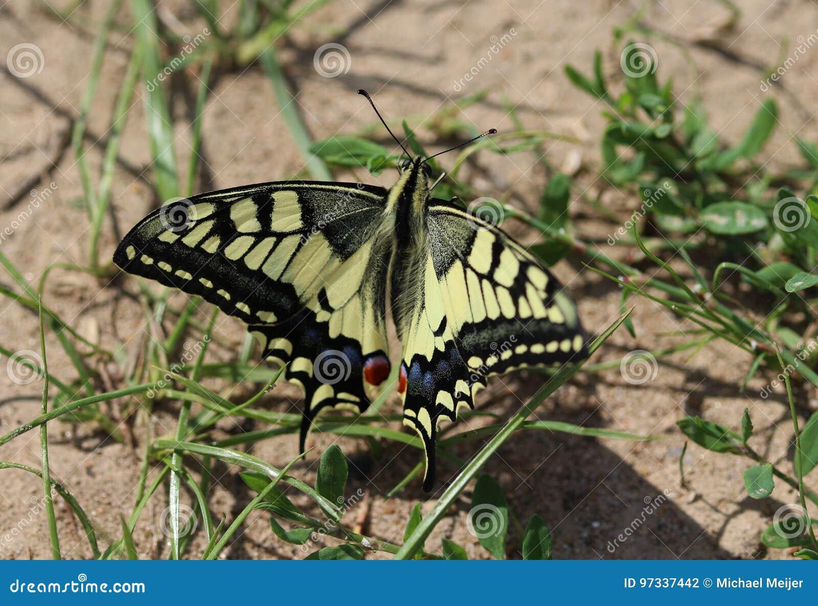 Oude Wereld Swallowtail