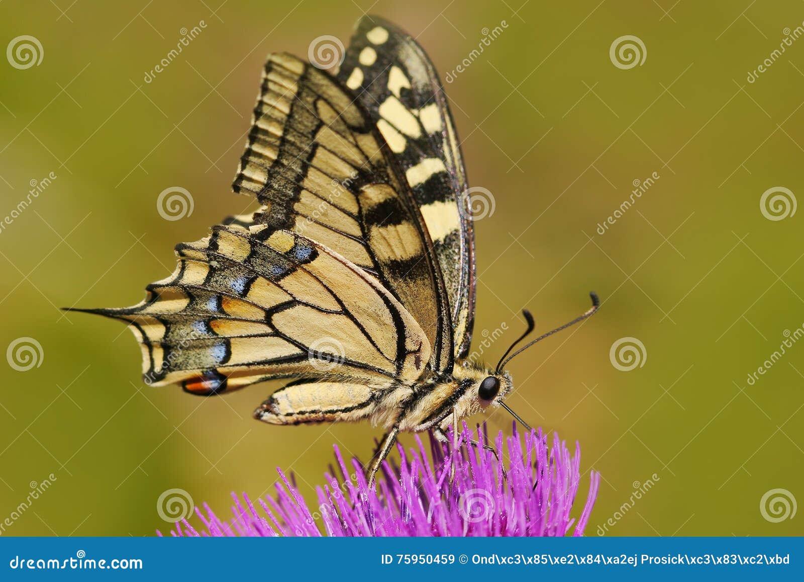 Oude Wereld swallowtail, Papilio machaon, vlinderzitting op de roze bloem in de aard De zomerscène van de weide Beautifu