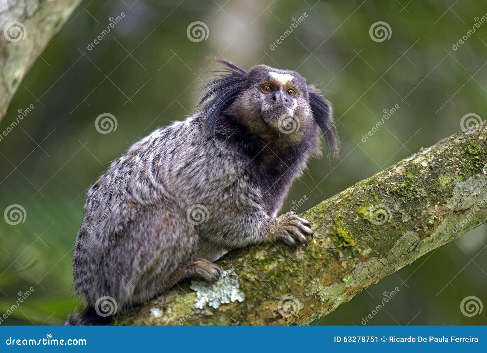 Ouistiti Noir-tufté, primat endémique du Brésil