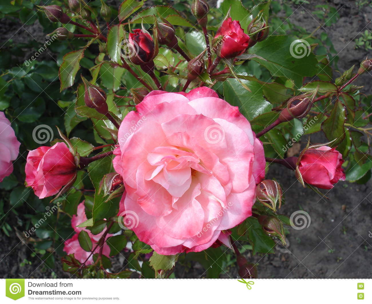 Our Rosy Carpet Rose Buds And Flowers Stock Photo Image Of Shrub