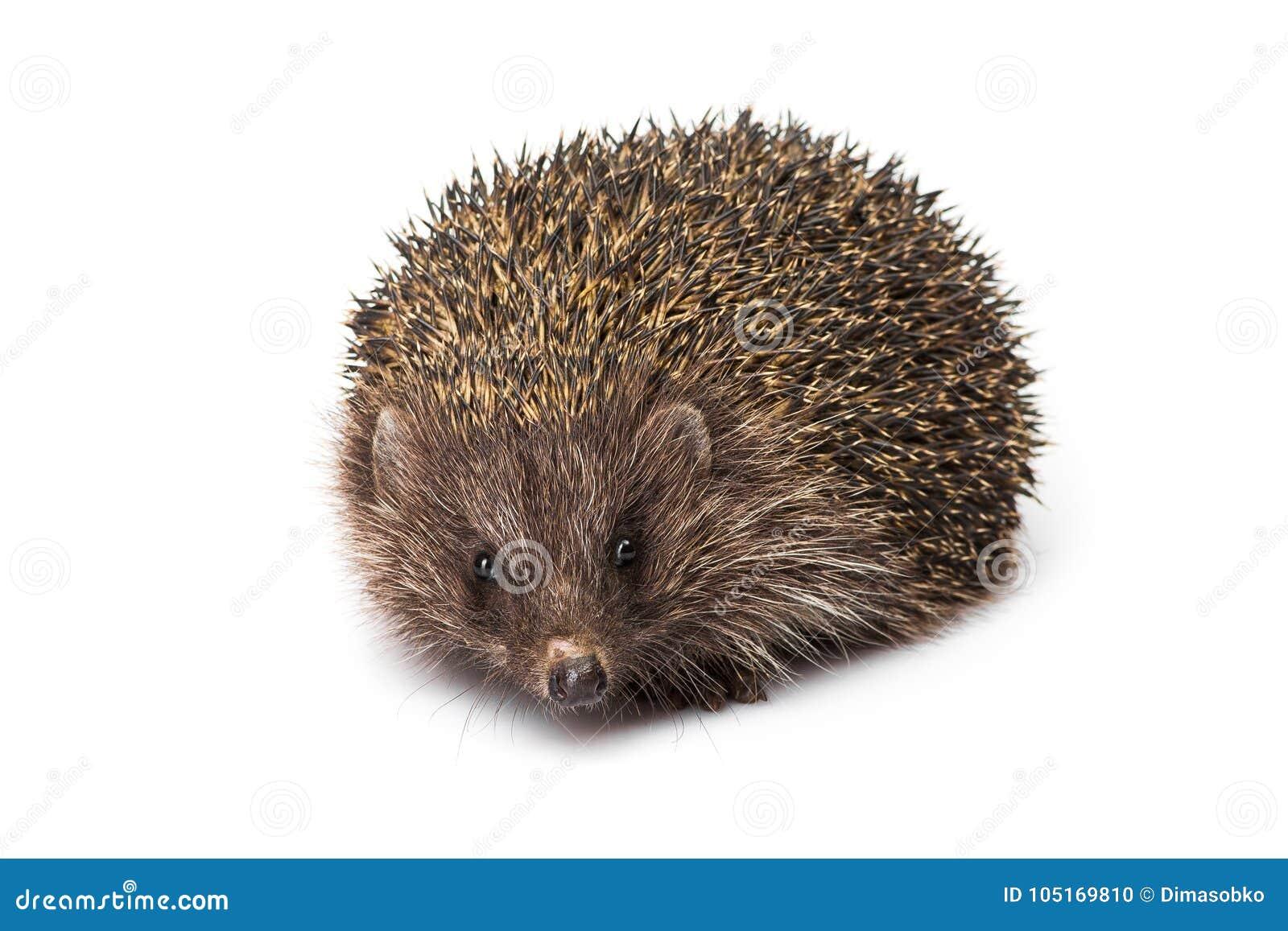Ouriço animal pequeno isolado