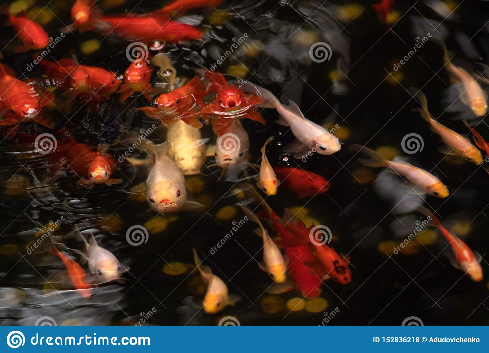 Ouro e peixes vermelhos na lagoa com círculos da água