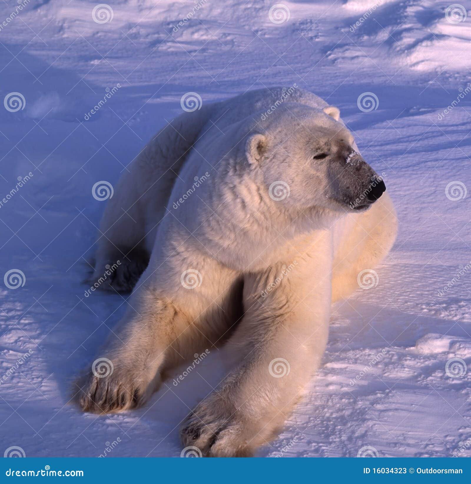 Ours blanc à la lumière du soleil arctique inférieure