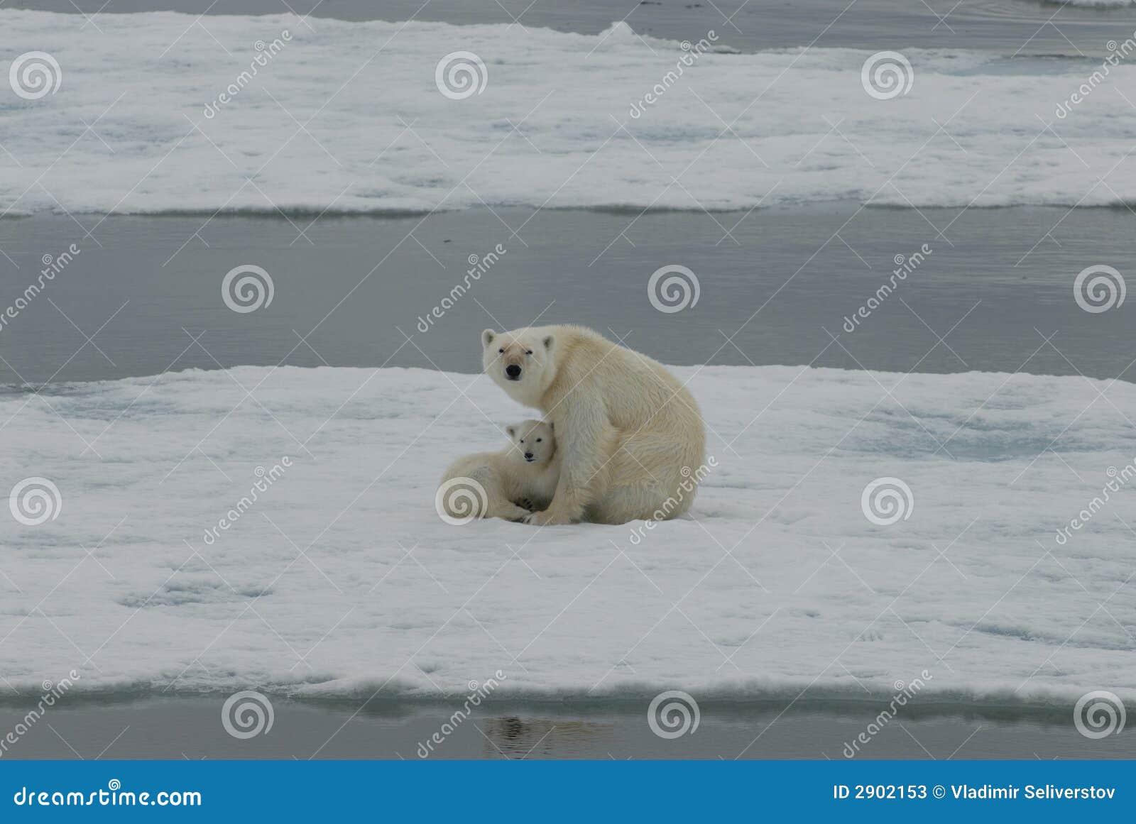 Ours blanc avec l animal