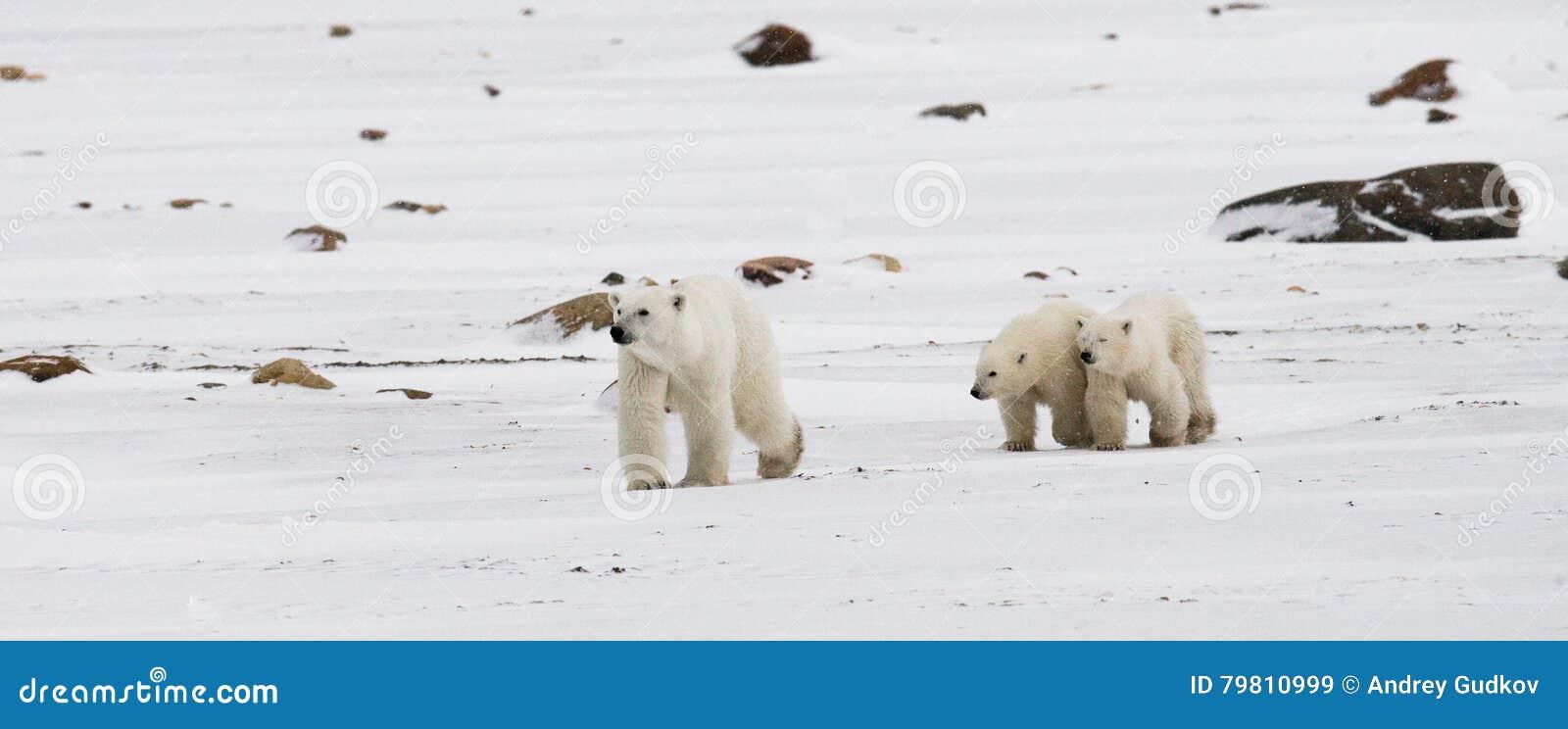 Ours blanc avec petits animaux dans la toundra canada
