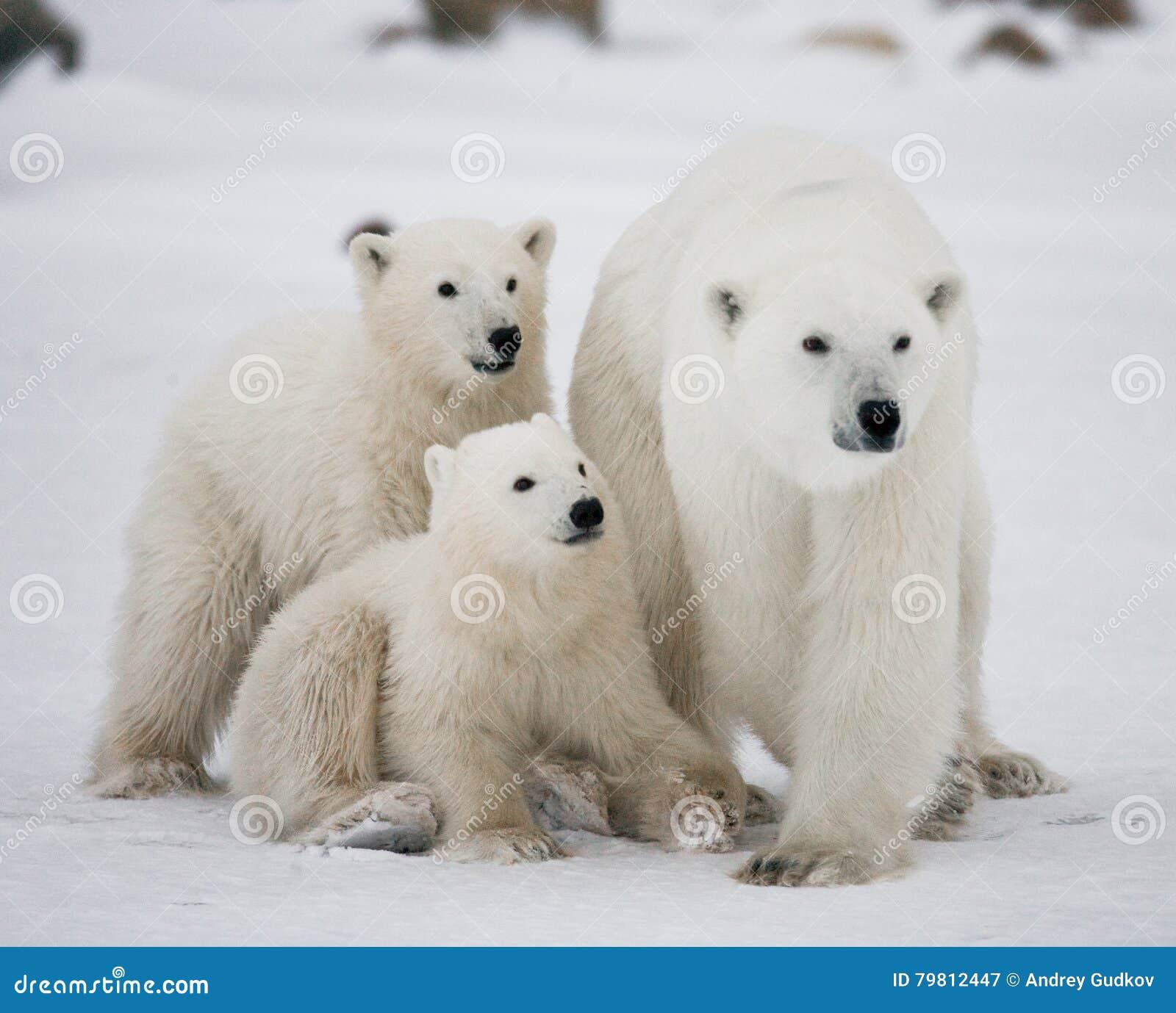 ours blanc avec petits animaux dans la toundra canada image stock image du froid faune 79812447. Black Bedroom Furniture Sets. Home Design Ideas