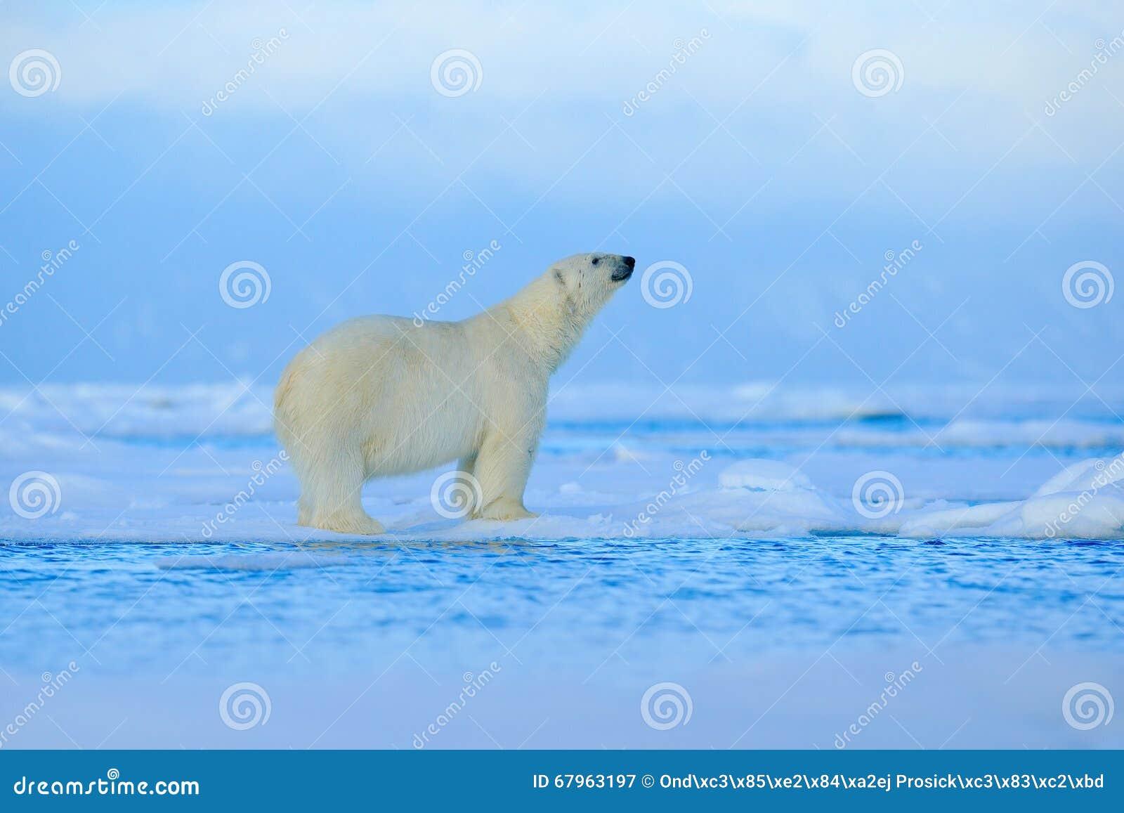 Ours blanc, bête de regard dangereuse sur la glace avec la neige en Russie du nord, habitat de nature