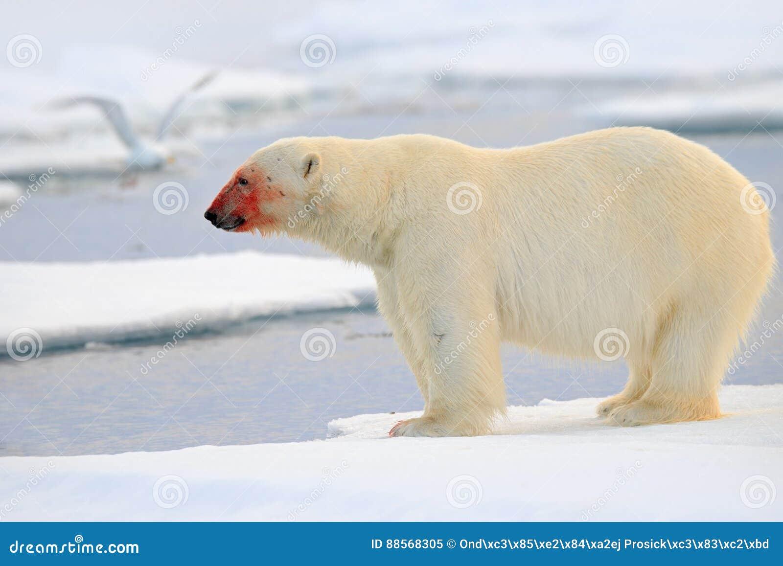 Ours blanc, bête de regard dangereuse sur la glace avec la neige, sang rouge dans le visage en Russie du nord