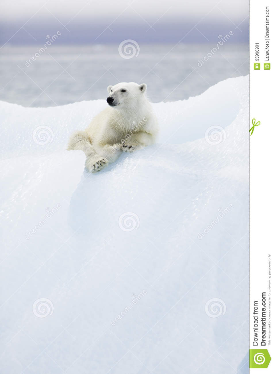 Ours blanc chez le Svalbard