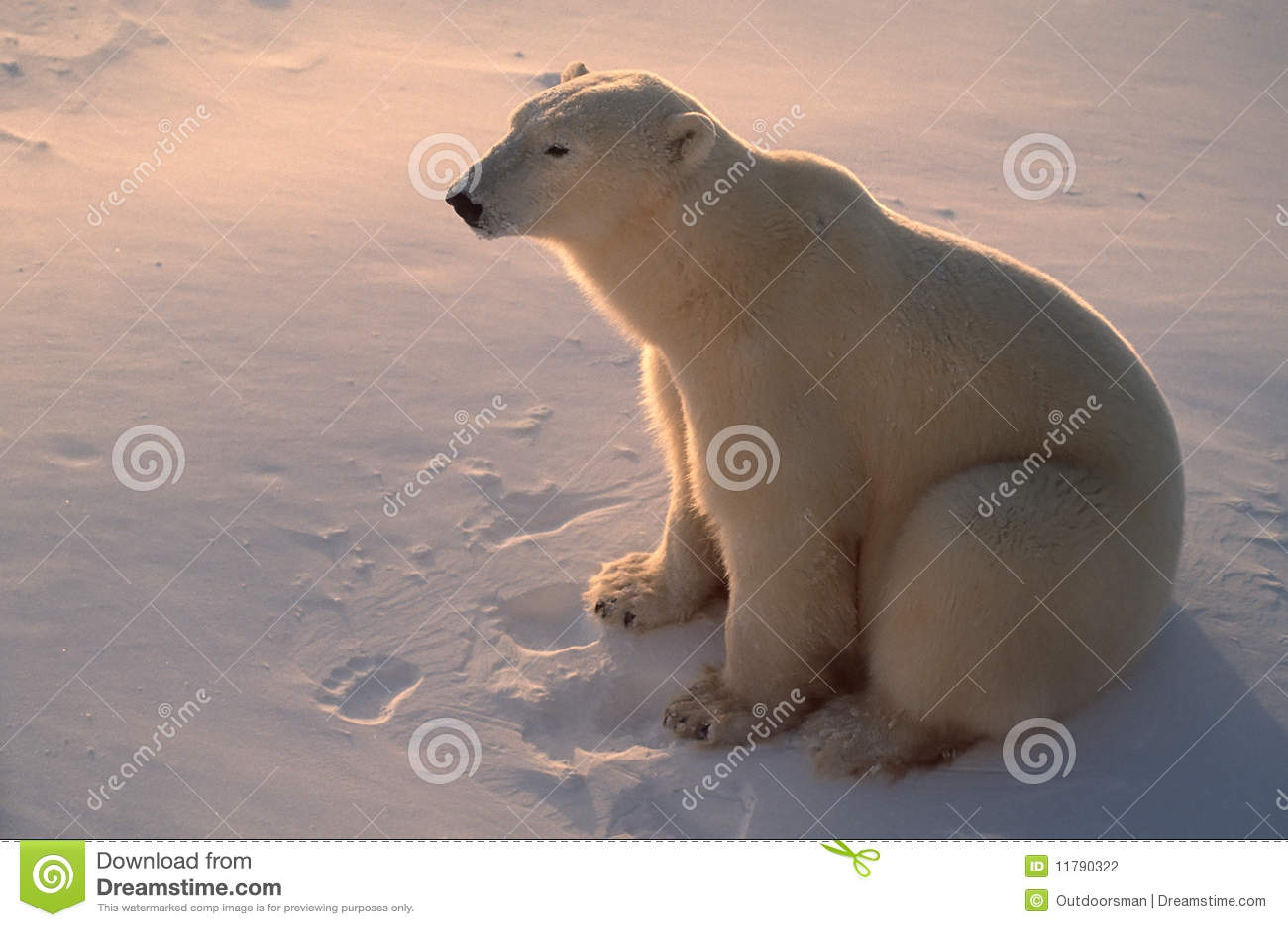 Ours blanc dans l Arctique, éclairé à contre-jour par lumière du soleil inférieure