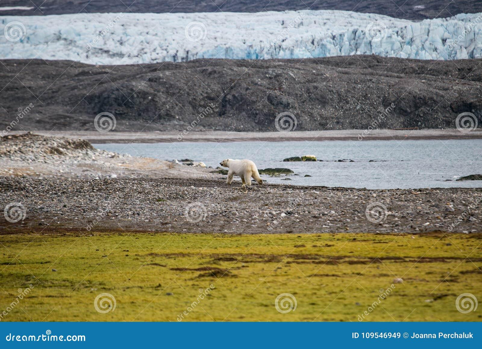 Ours blanc dans l Arctique