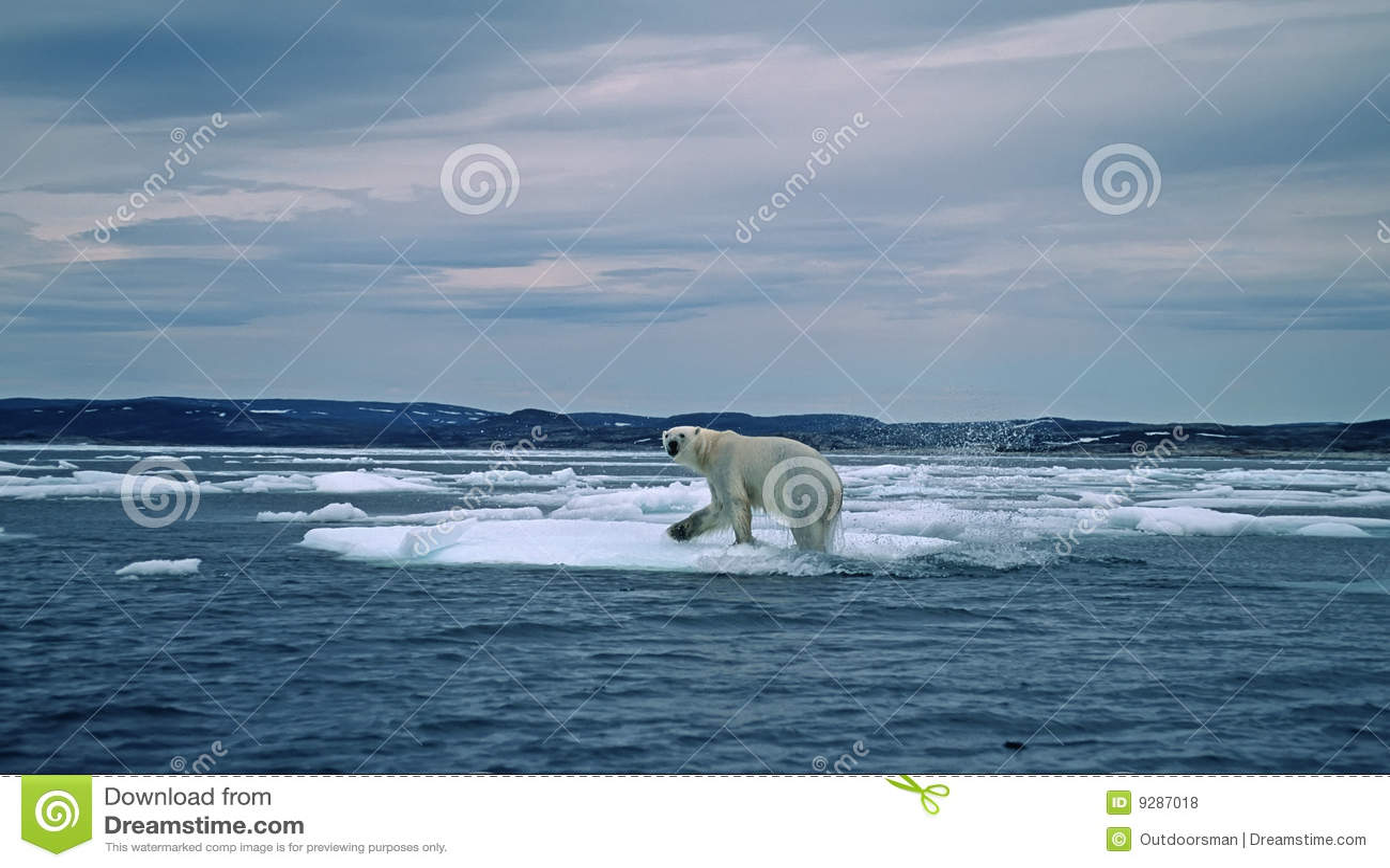 Ours blanc dans l Arctique canadien