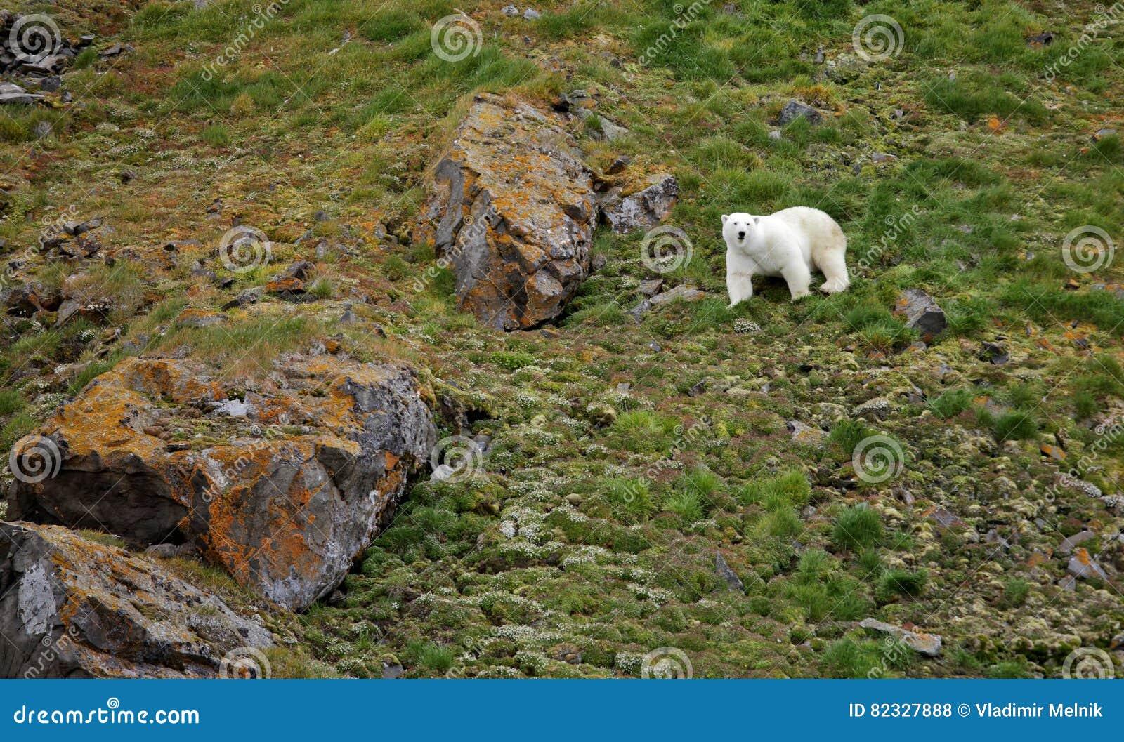Ours blanc dans l Arctique d été