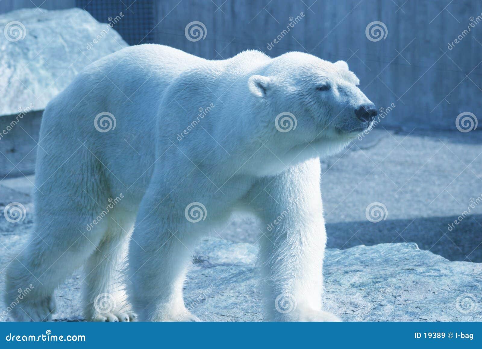Ours blanc de marche