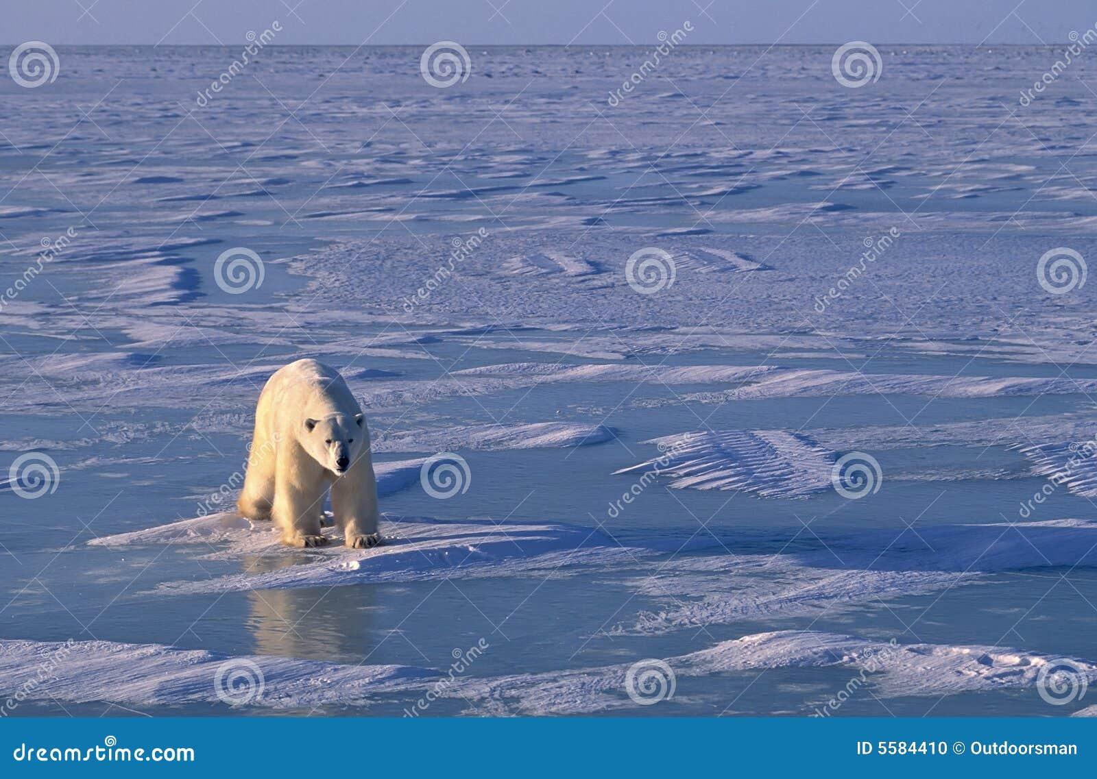 Ours blanc, lumière inférieure de bon côté dans l Arctique