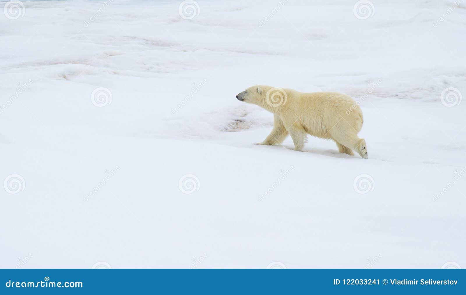 Ours blanc marchant dans un Arctique