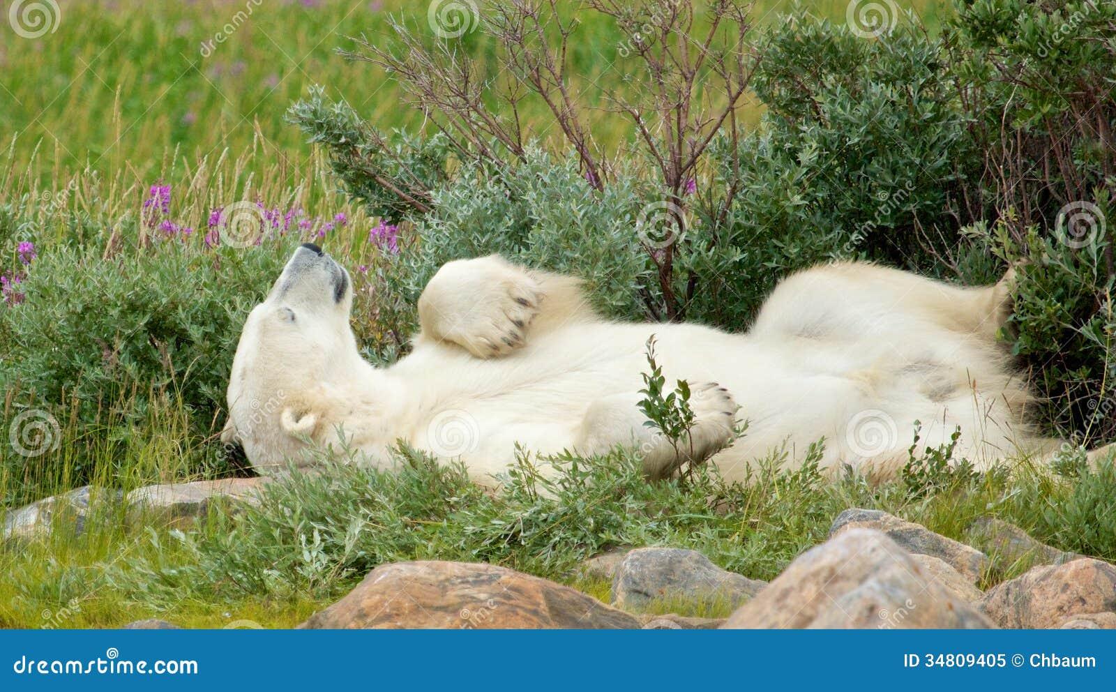 Ours blanc paresseux dans la toundra 1