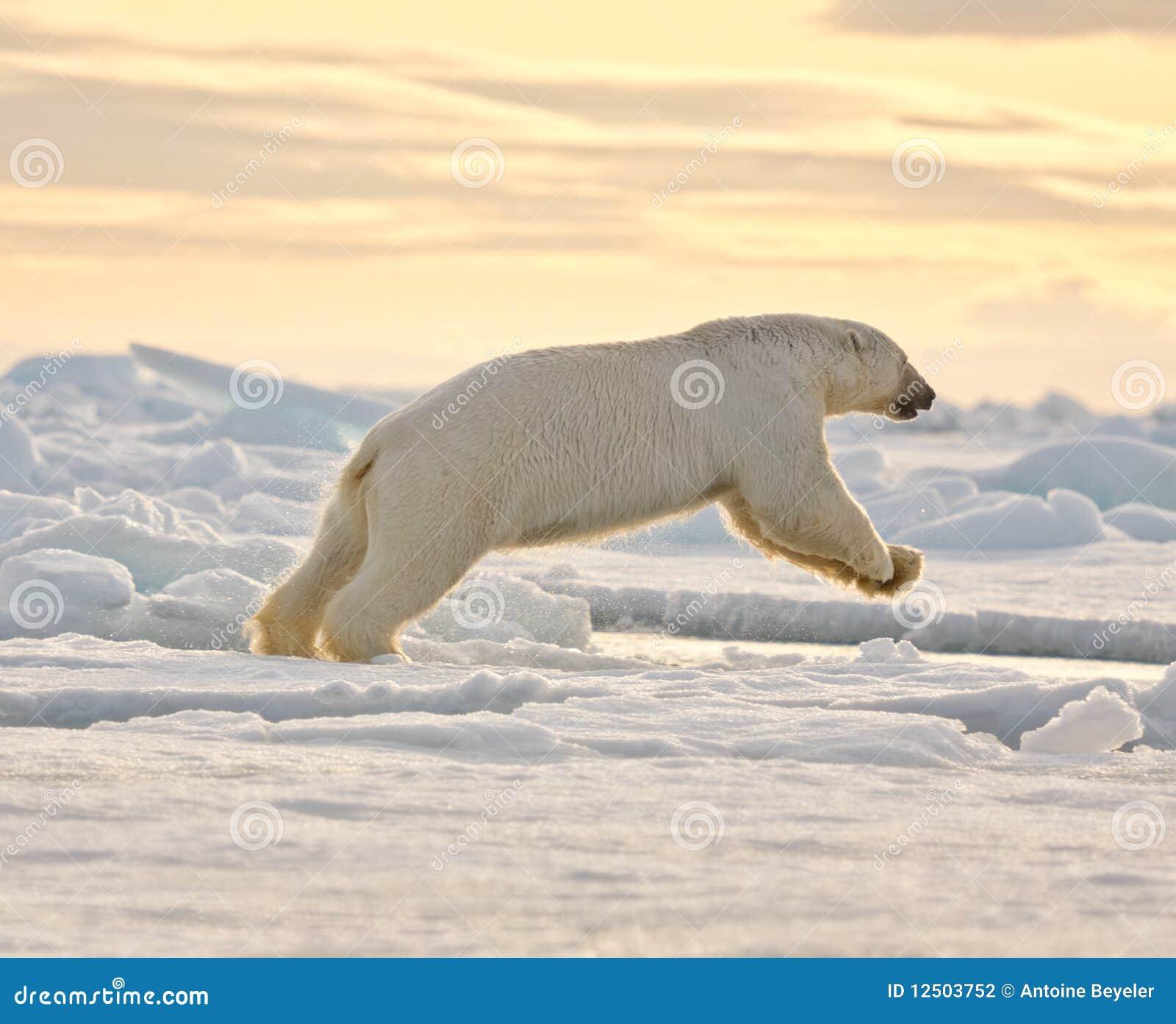 Ours blanc sautant dans la neige