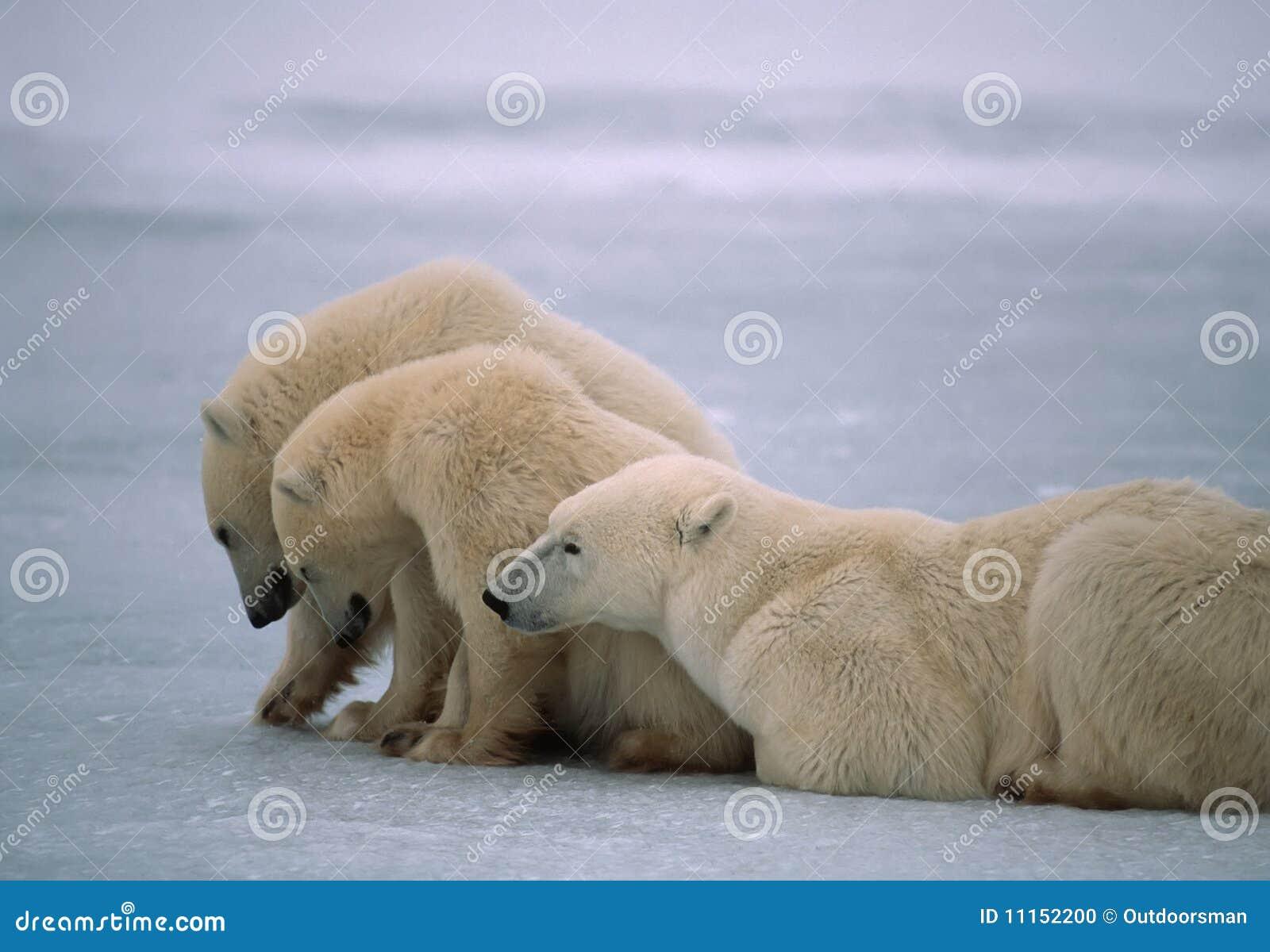 Ours blancs dans l Arctique canadien