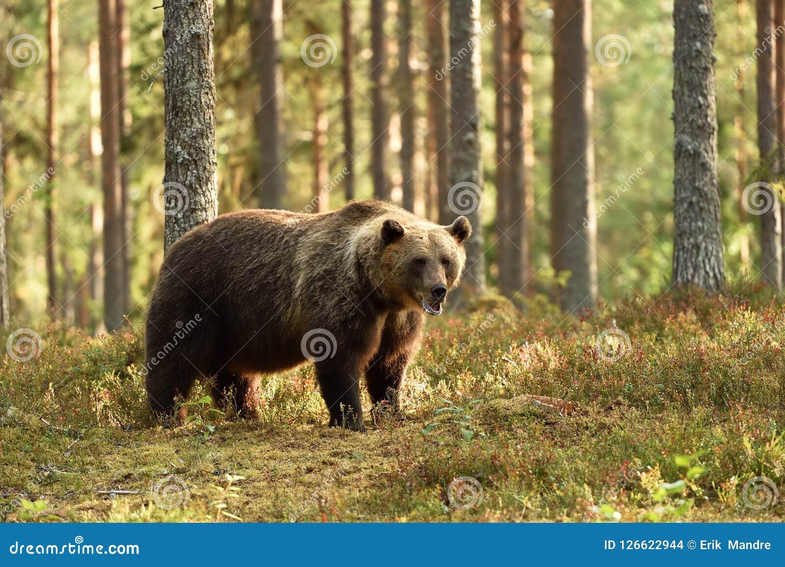 Ours brun puissant dans un paysage de forêt