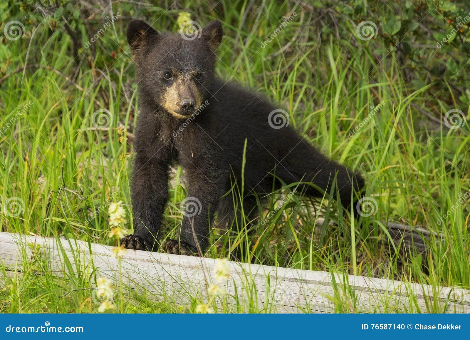 Ours Cub noir