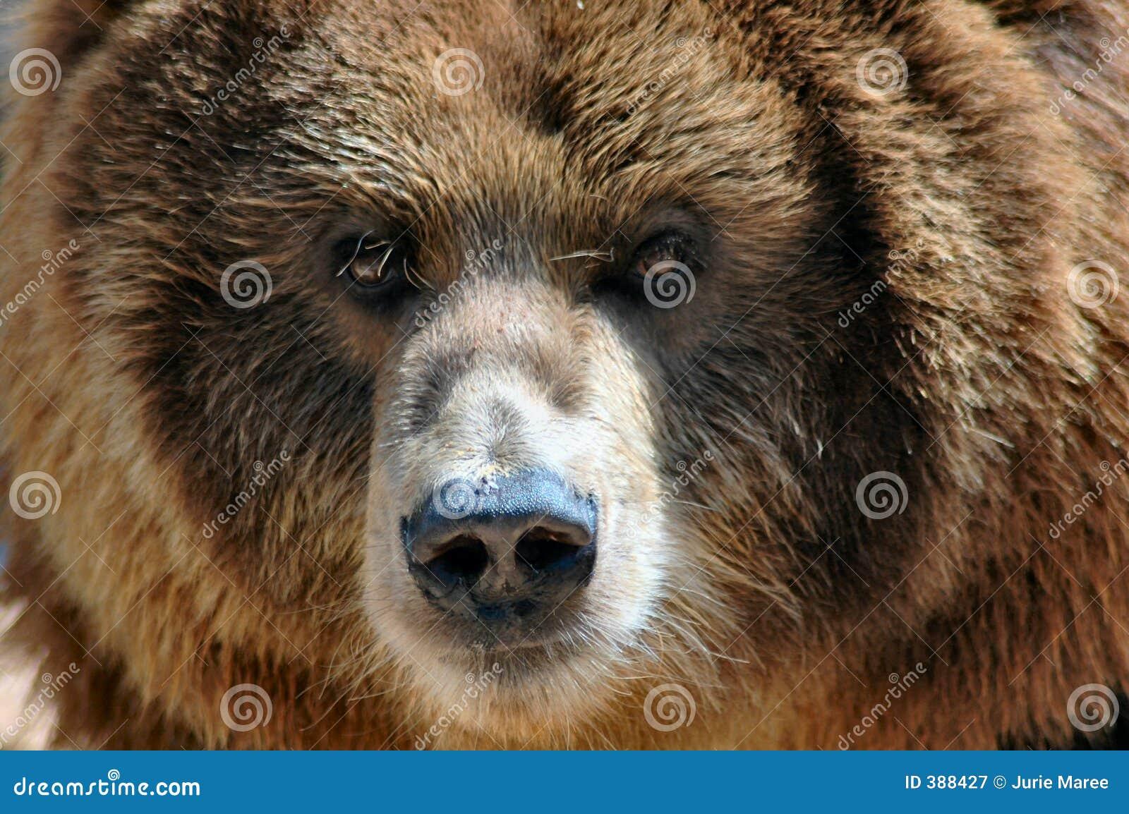 Ours de Kodiak avec la mouche sur le nez.