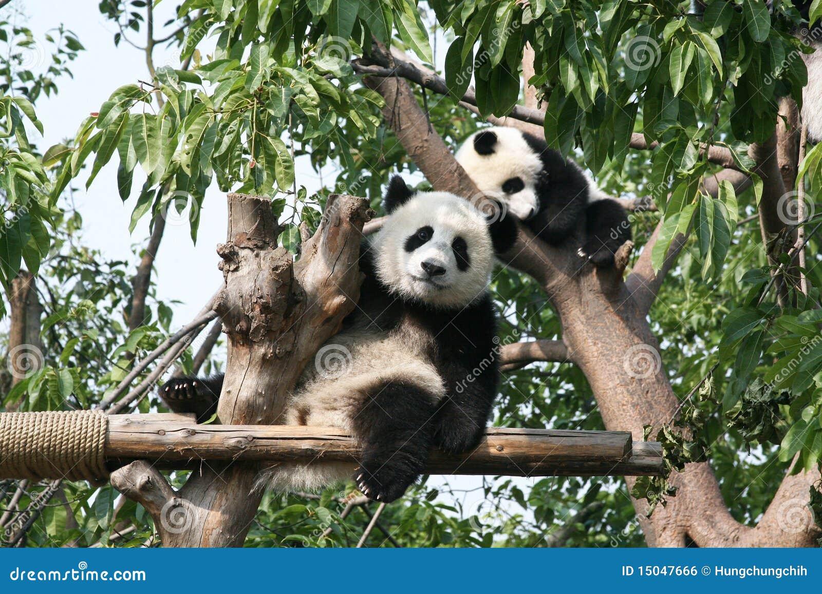 Ours de panda géant regardant l appareil-photo